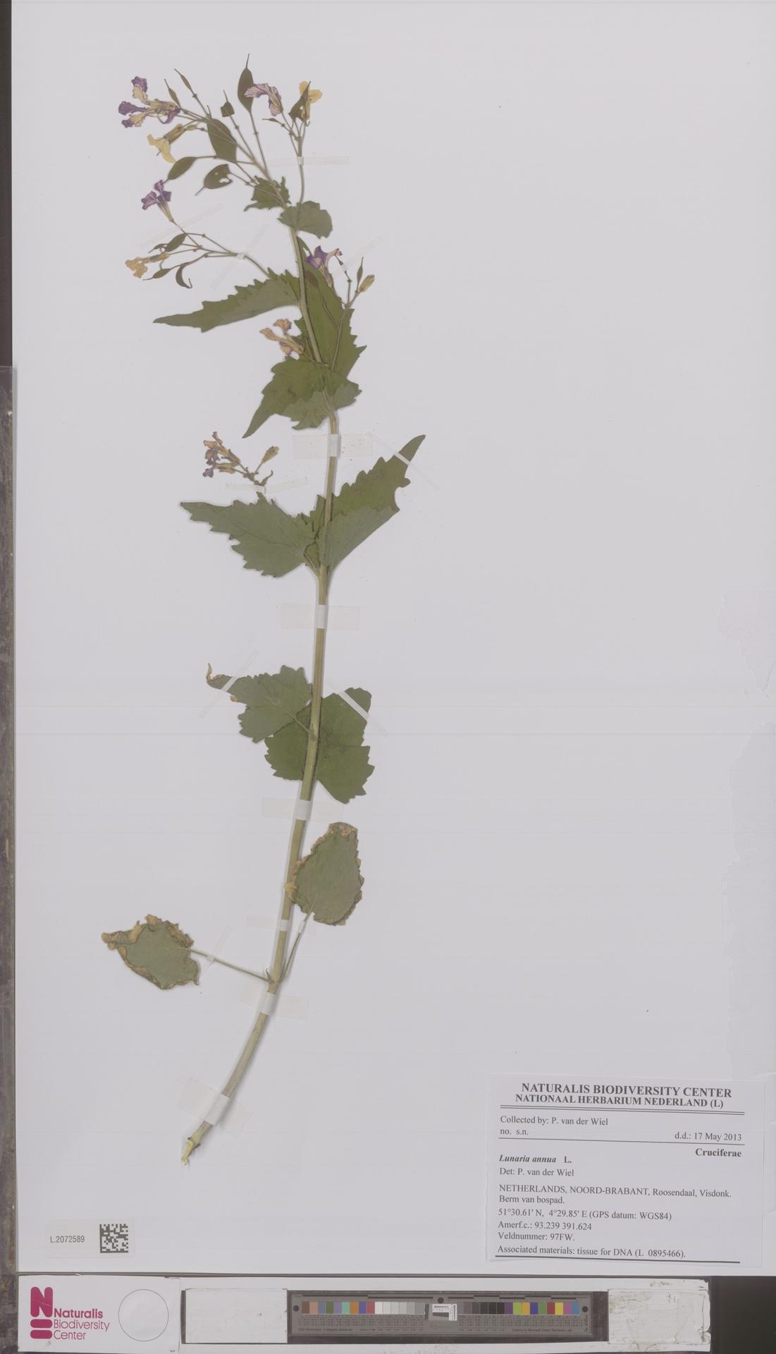 L.2072589 | Lunaria annua L.