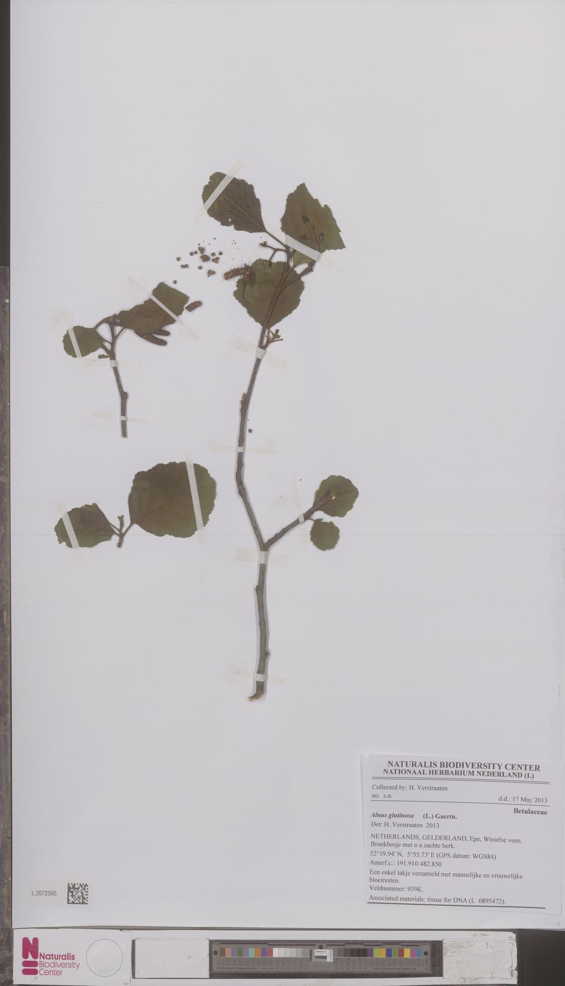 L.2072595 | Alnus glutinosa (L.) Gaertn.