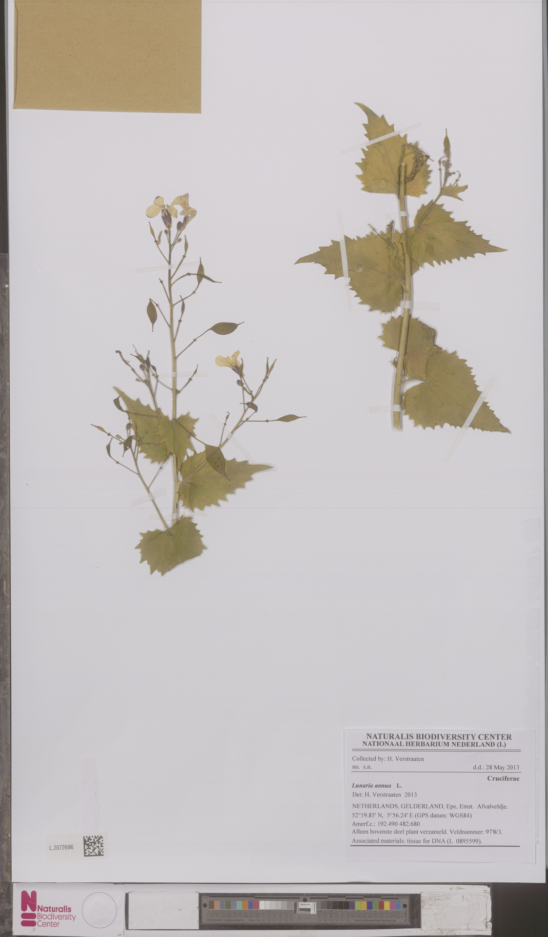 L.2072696 | Lunaria annua L.