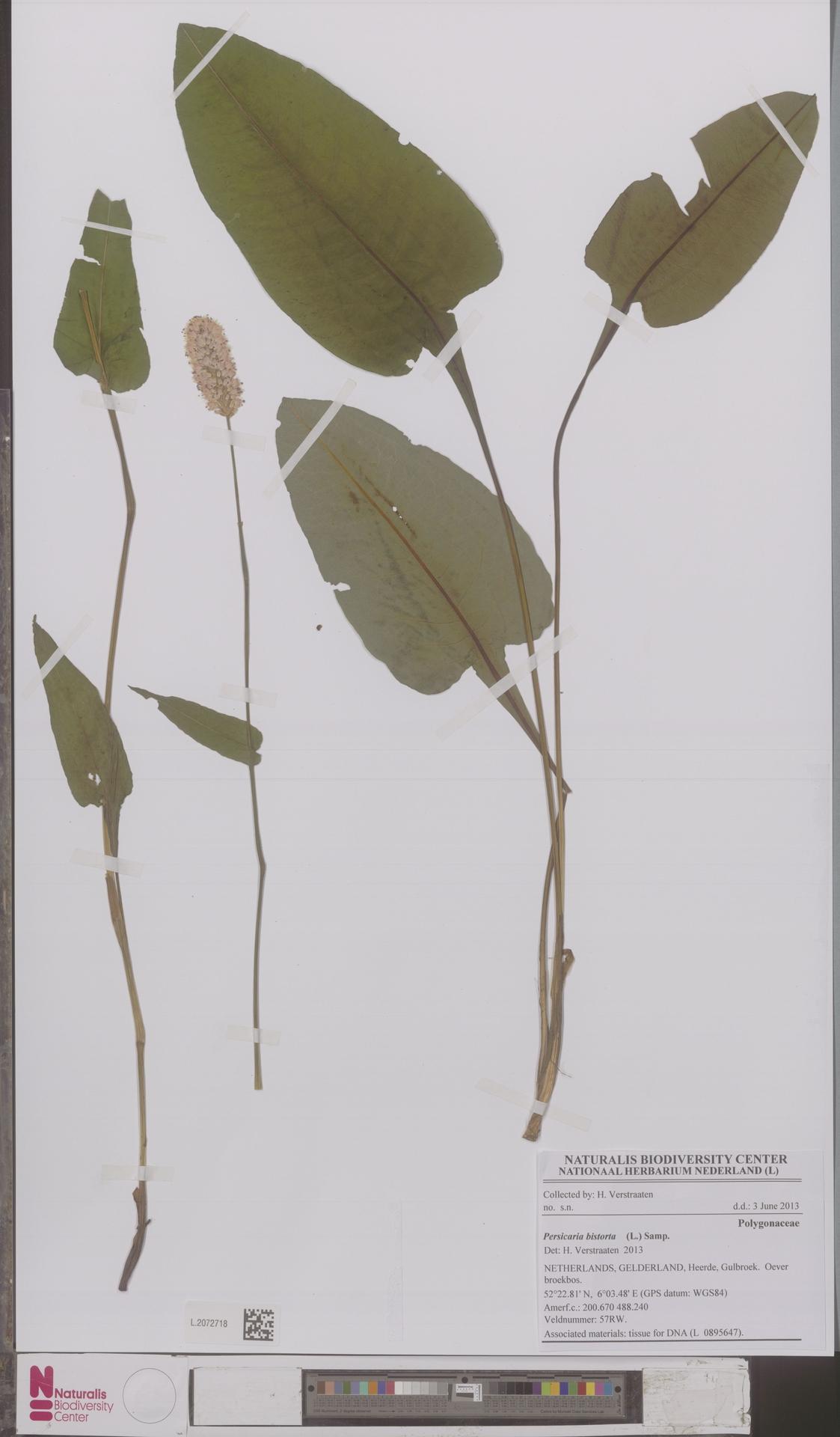 L.2072718   Persicaria bistorta (L.) Samp.