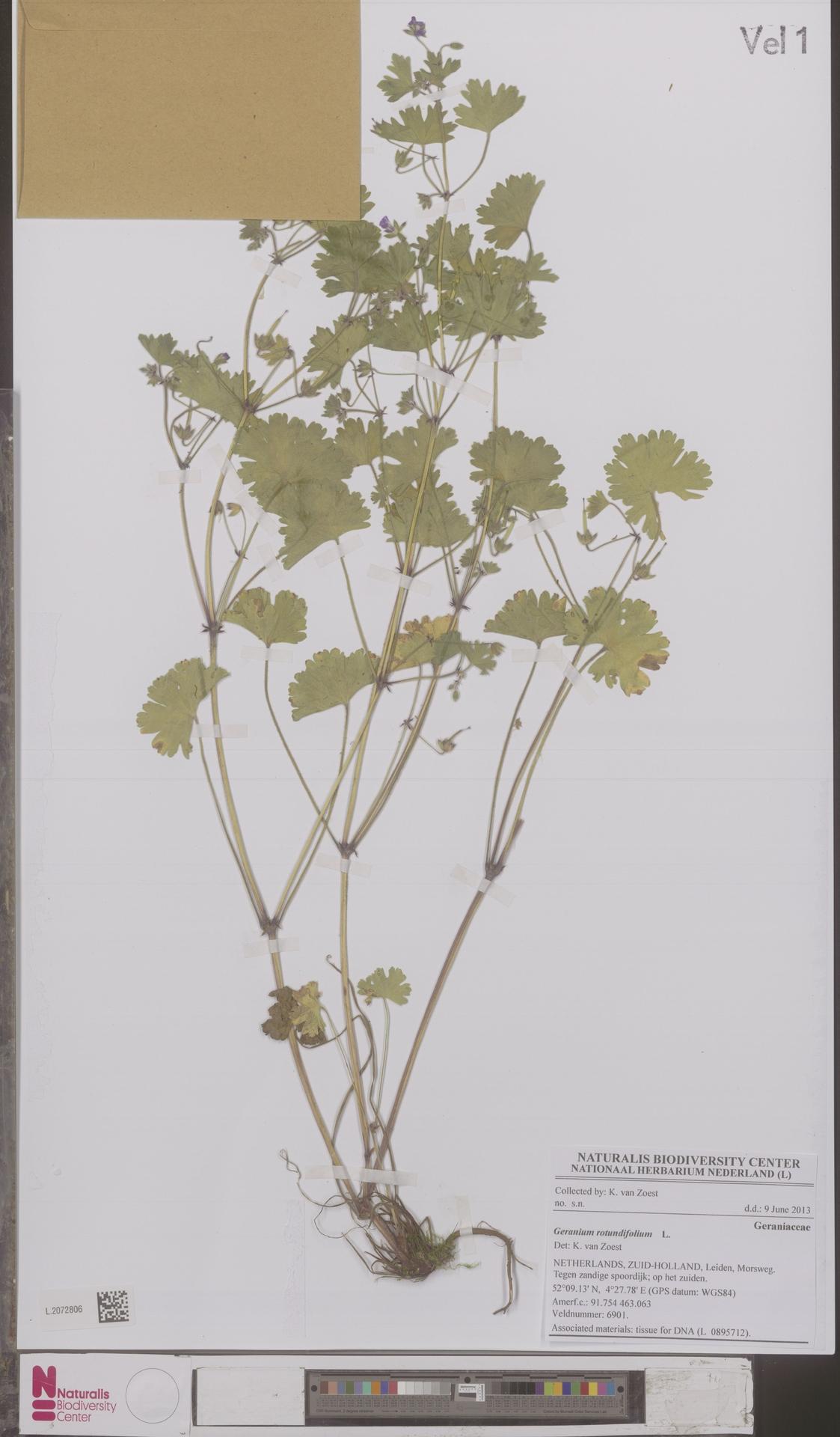 L.2072806 | Geranium rotundifolium L.