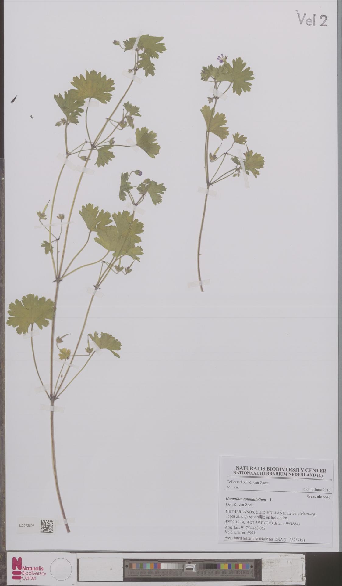 L.2072807 | Geranium rotundifolium L.