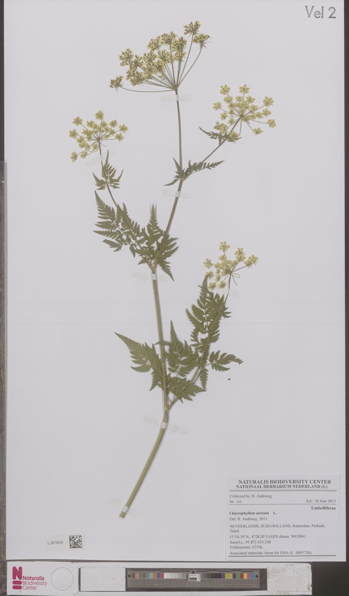 L.2072818 | Chaerophyllum aureum L.