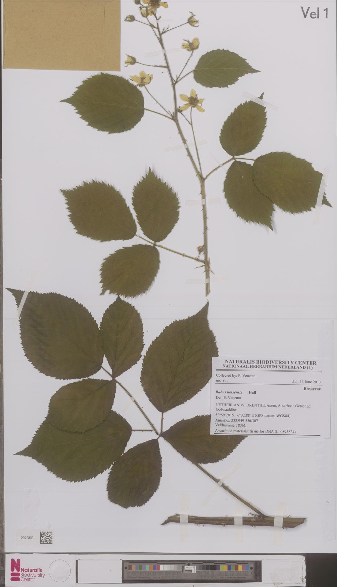 L.2072833 | Rubus nessensis Hall
