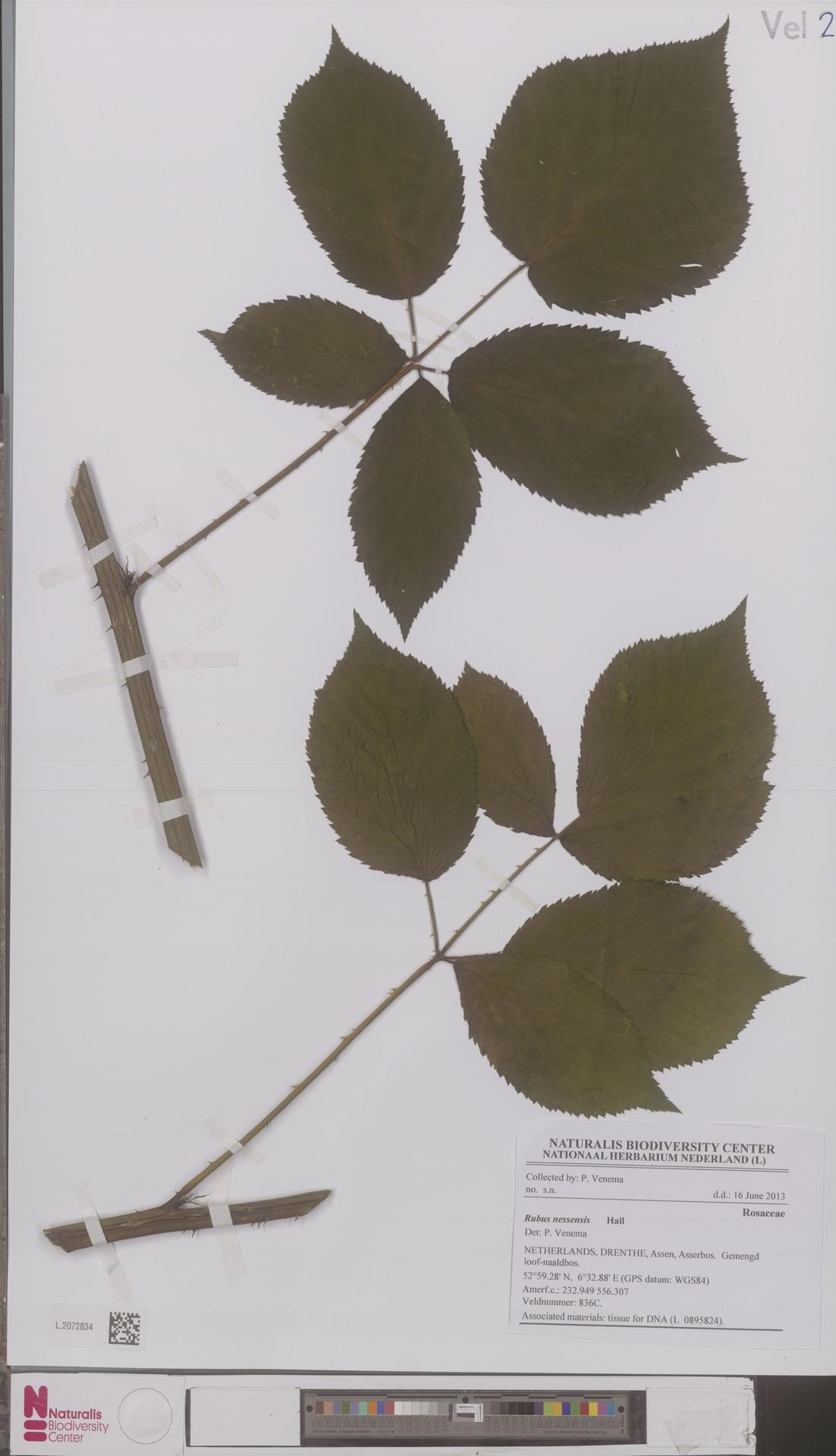 L.2072834 | Rubus nessensis Hall
