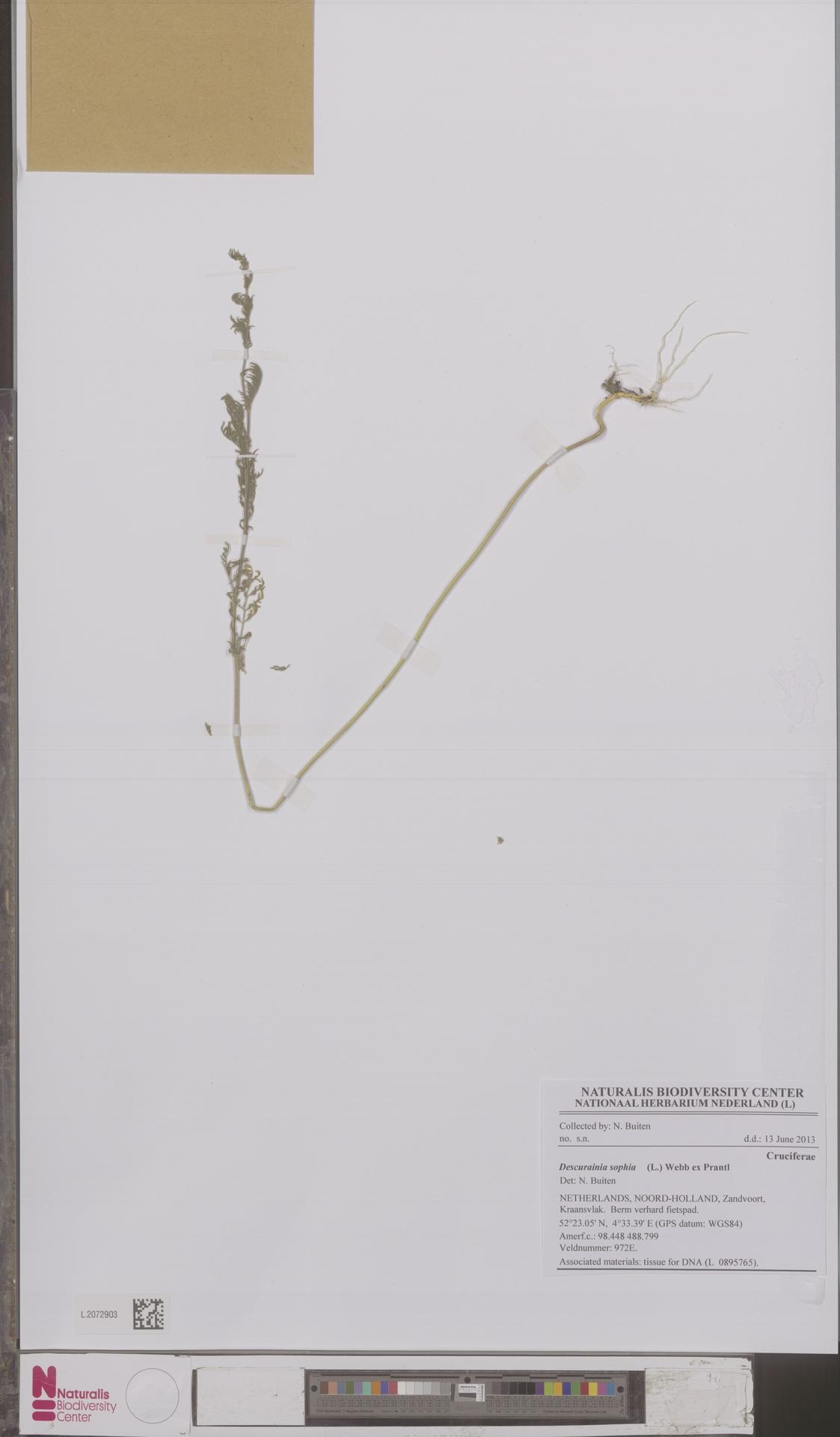 L.2072903 | Descurainia sophia (L.) Webb ex Prantl