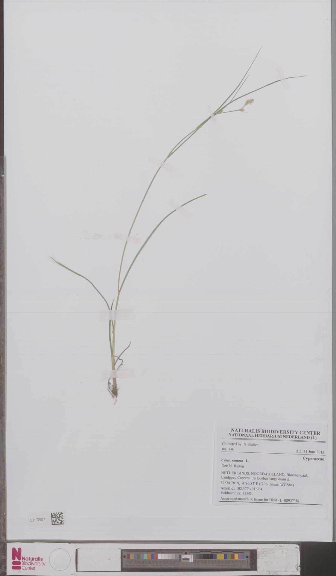 L.2072927 | Carex remota L.