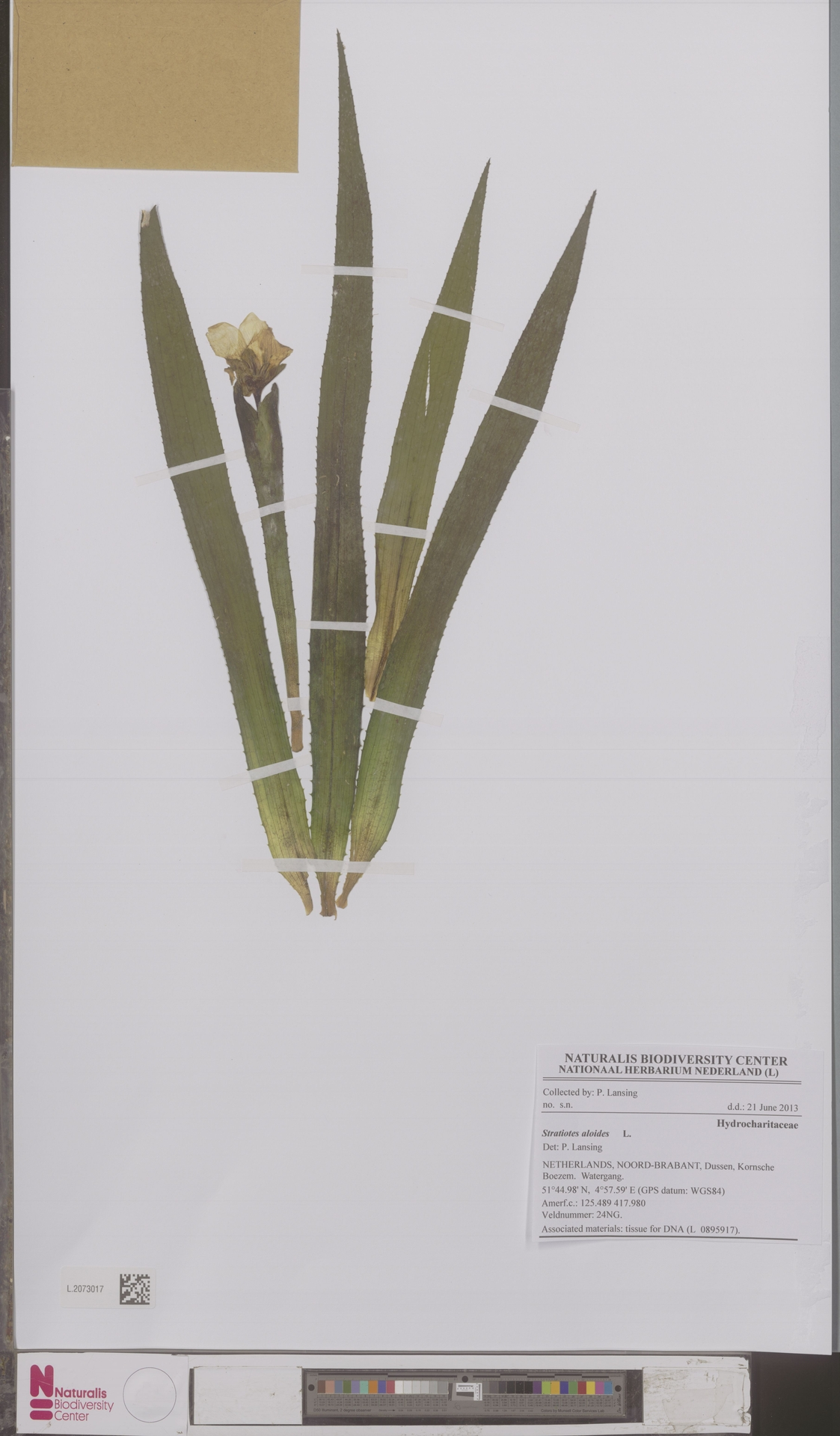 L.2073017   Stratiotes aloides L.