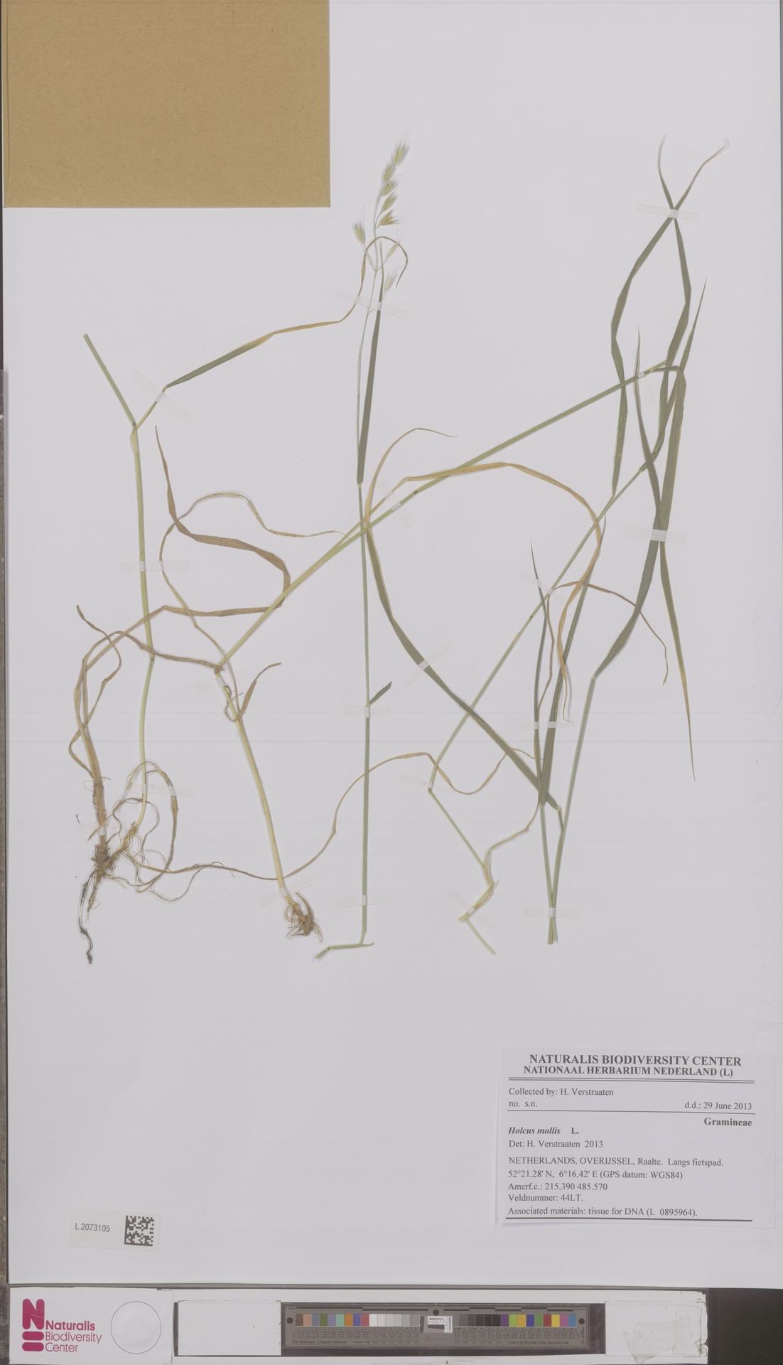 L.2073105   Arrhenatherum elatius (L.) P.Beauv. ex J.Presl & C.Presl