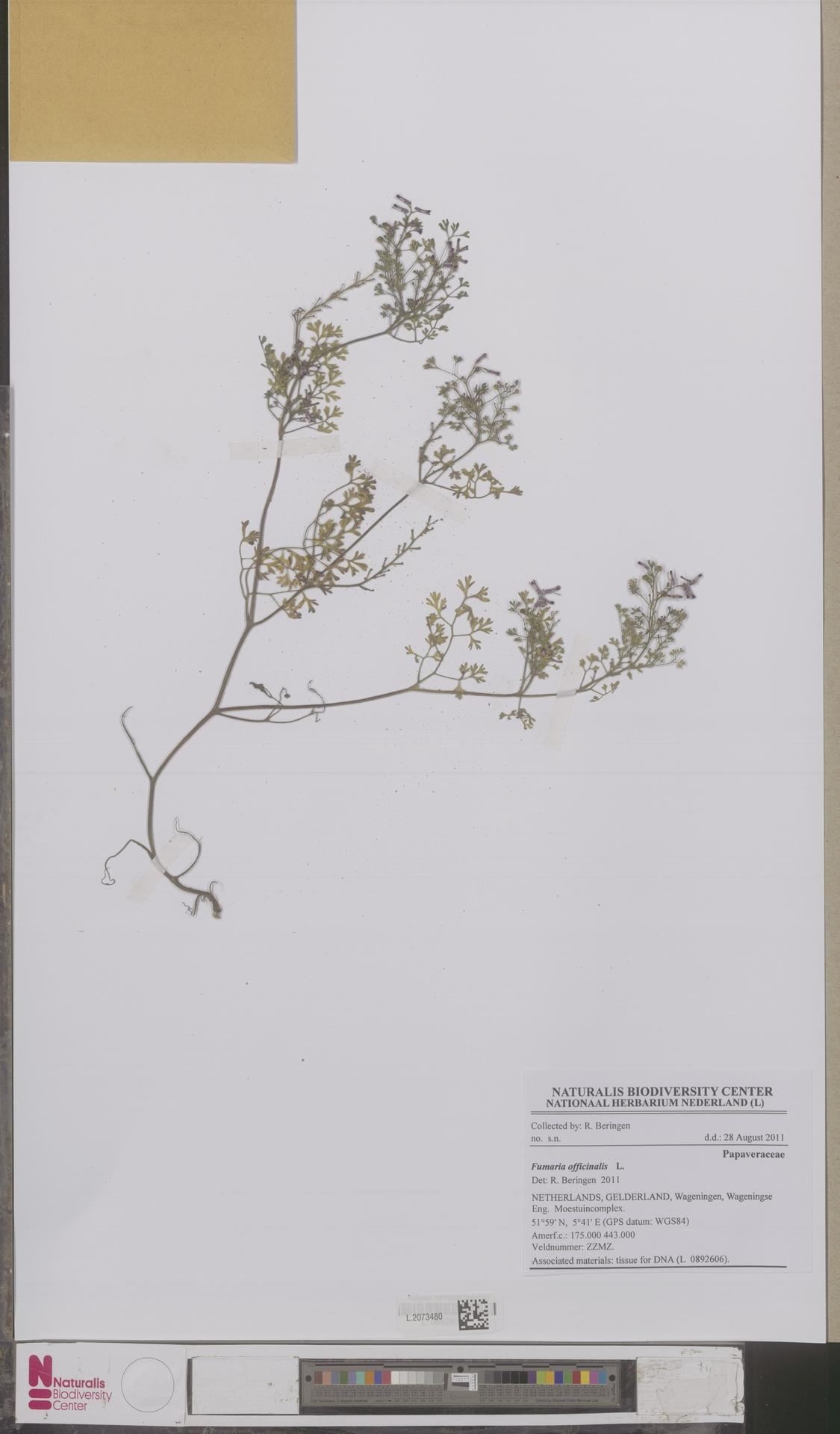 L.2073480 | Fumaria officinalis L.