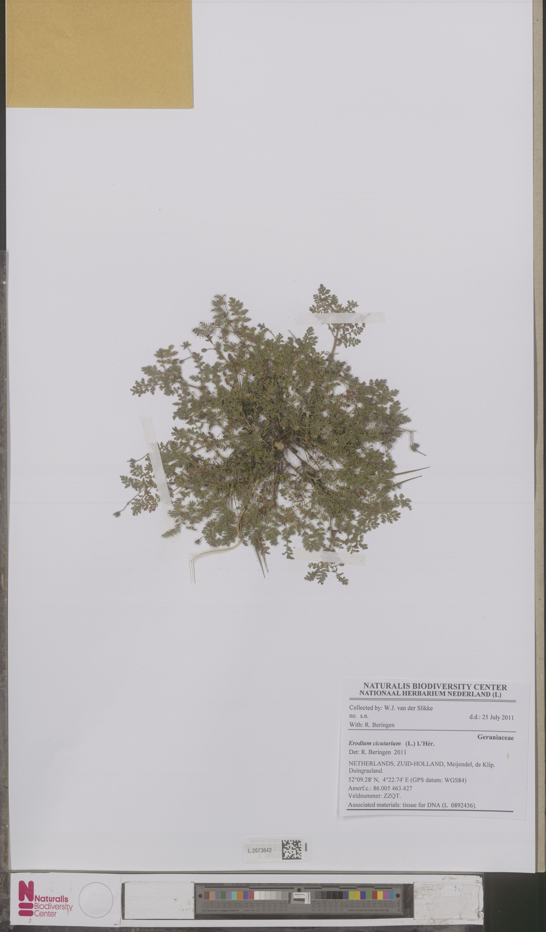 L.2073642 | Erodium cicutarium (L.) L'Hér.