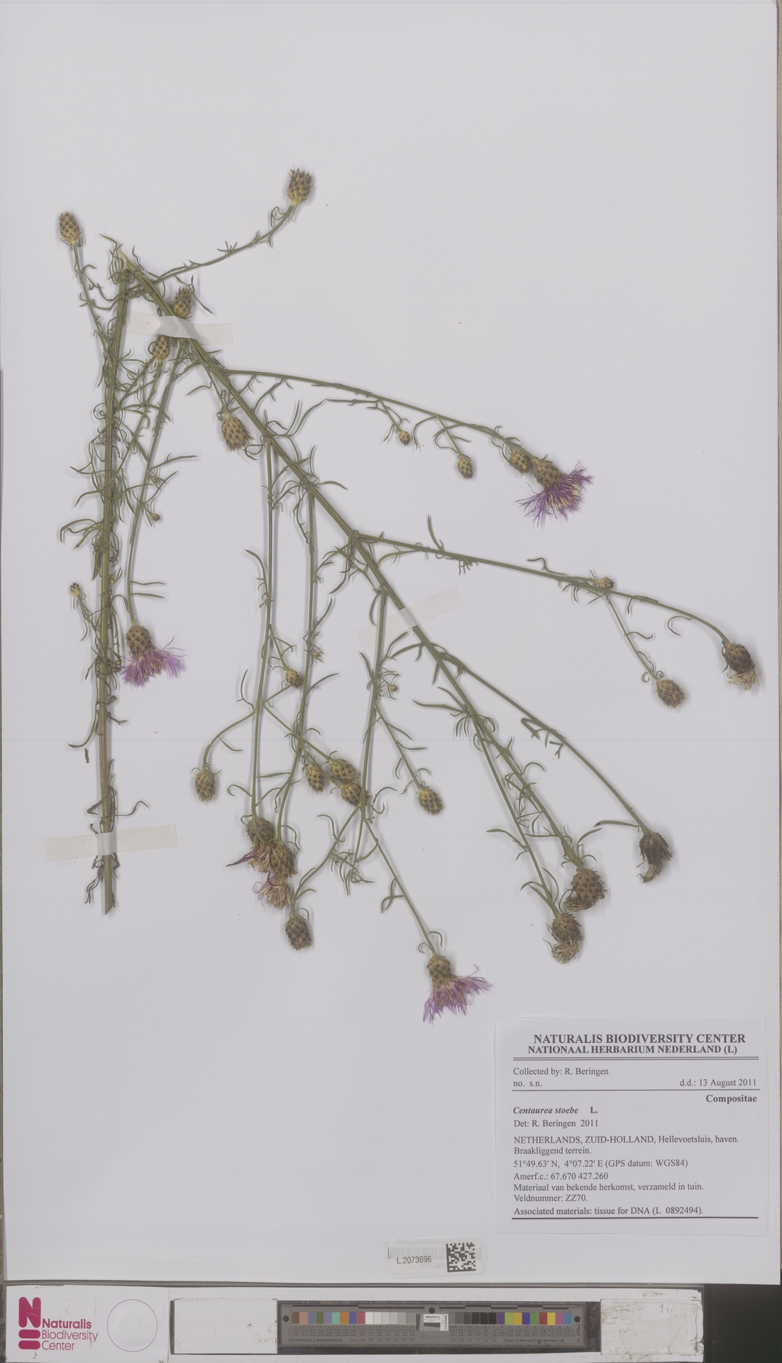 L.2073696 | Centaurea stoebe L.