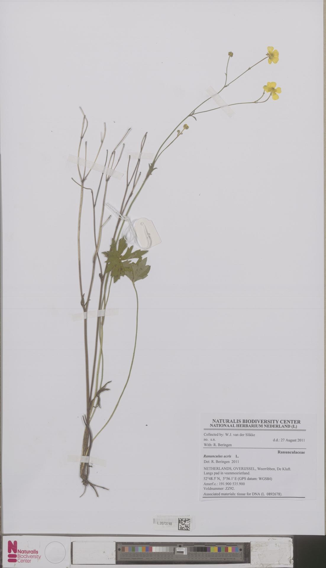 L.2073748 | Ranunculus acris L.