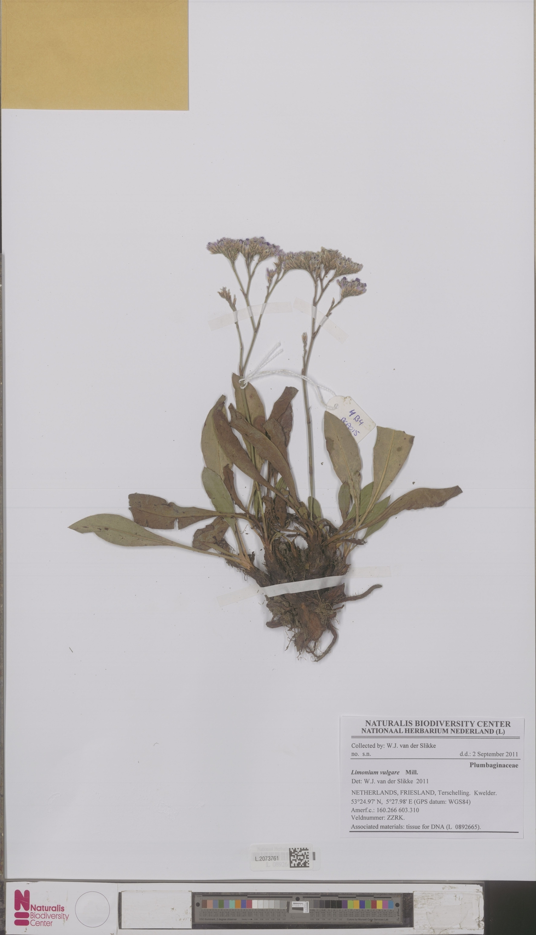 L.2073761 | Limonium vulgare Mill.