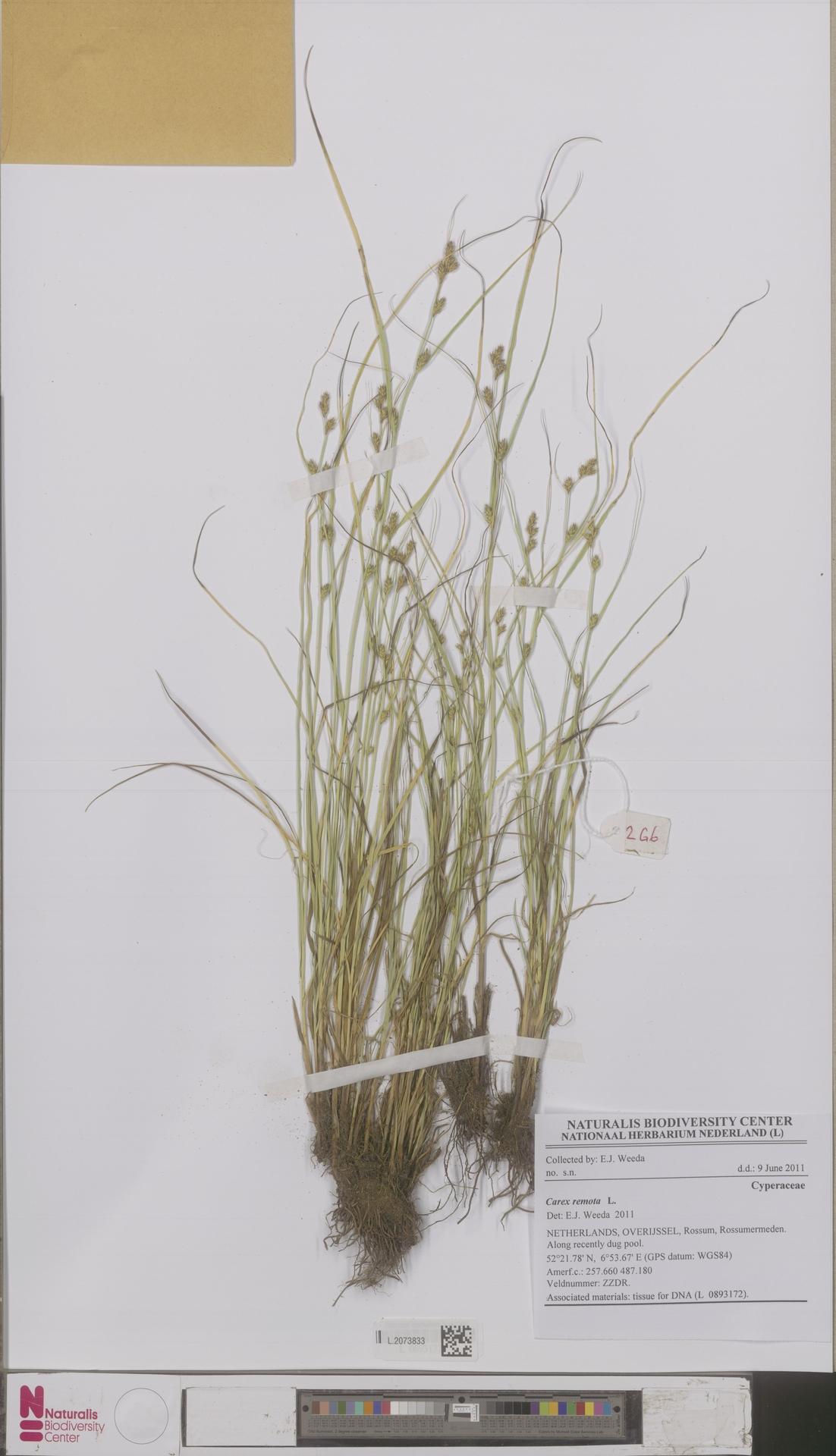 L.2073833   Carex remota L.