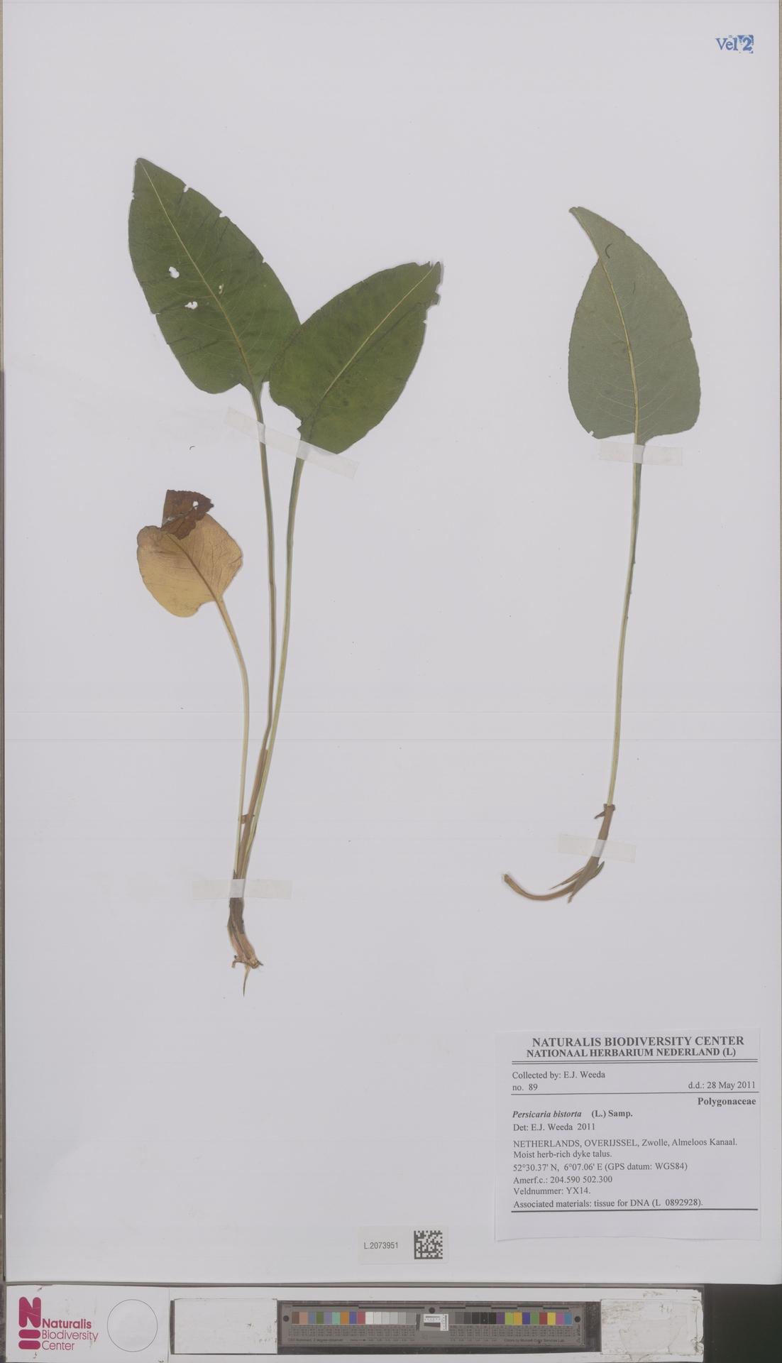 L.2073951 | Persicaria bistorta (L.) Samp.