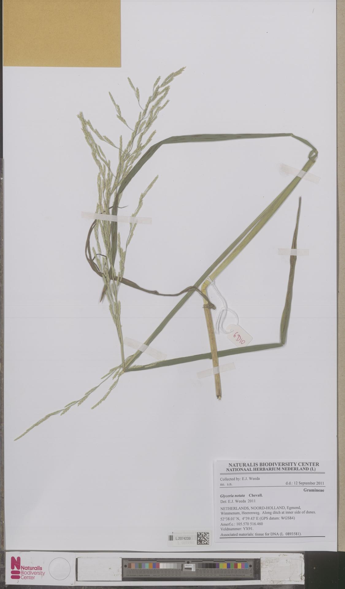L.2074239 | Glyceria notata Chevall.