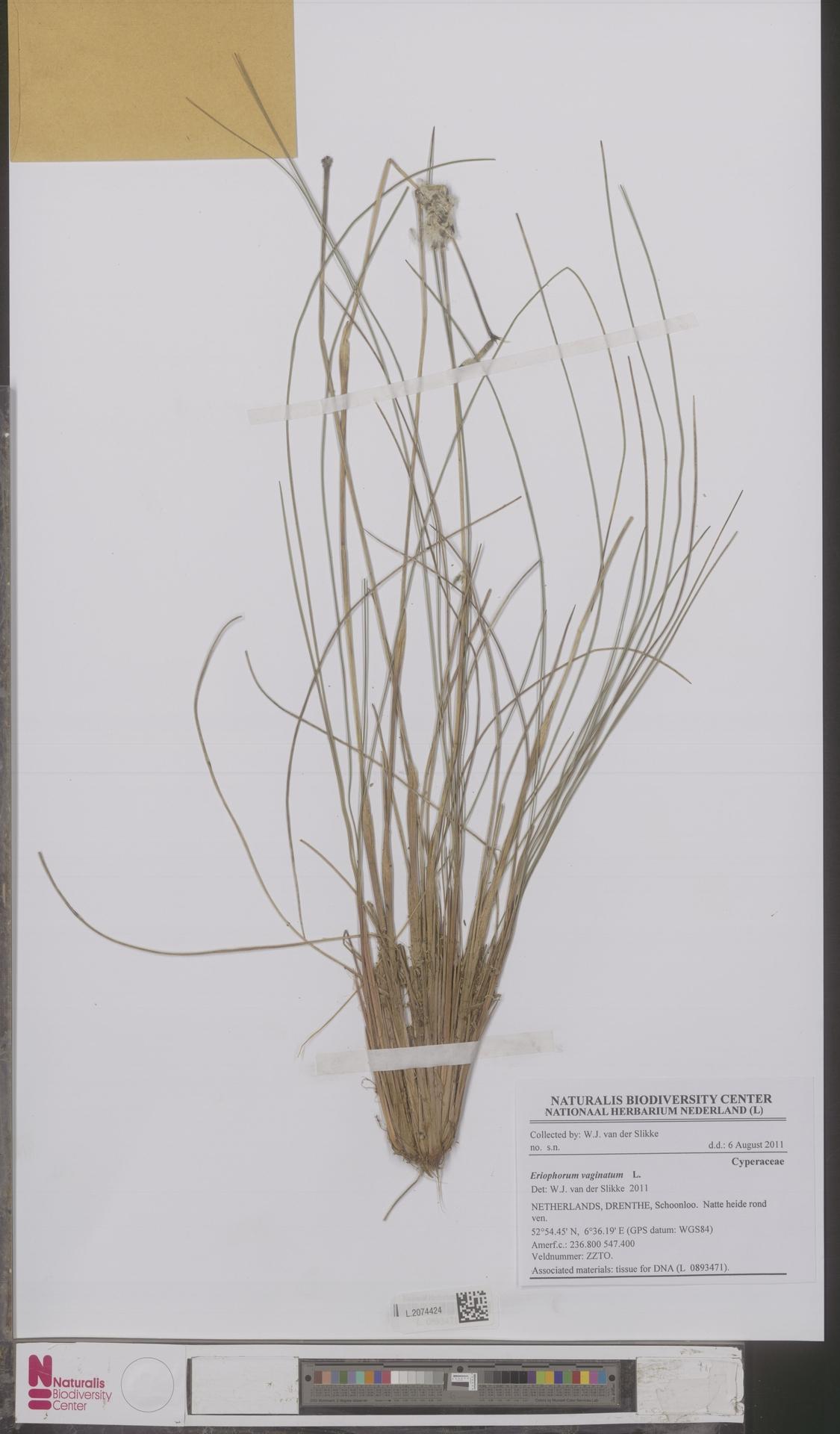 L.2074424 | Eriophorum vaginatum L.
