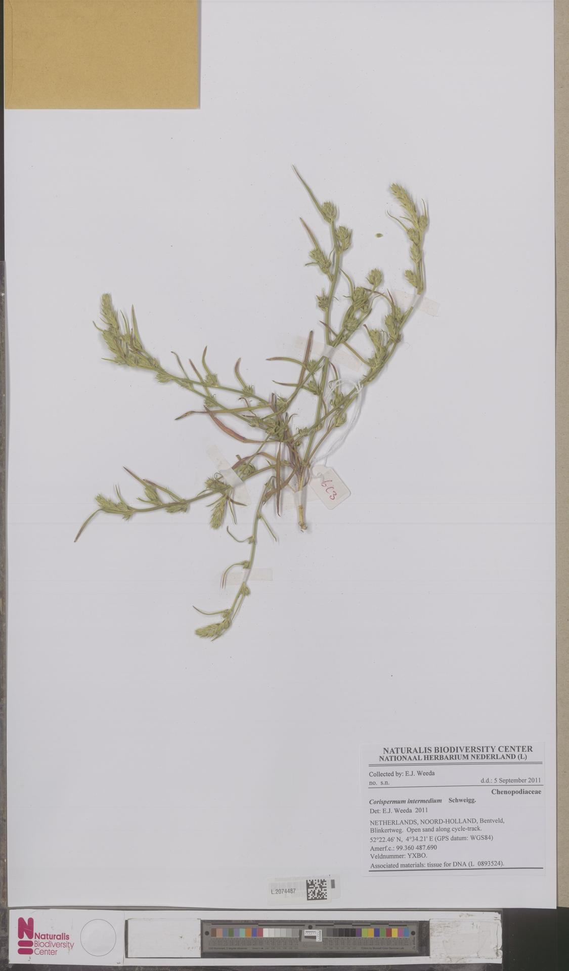 L.2074487 | Corispermum intermedium Schweigg.