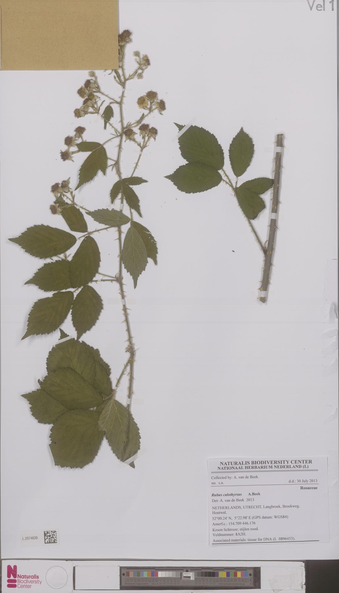 L.2074639 | Rubus calothyrsus A.Beek