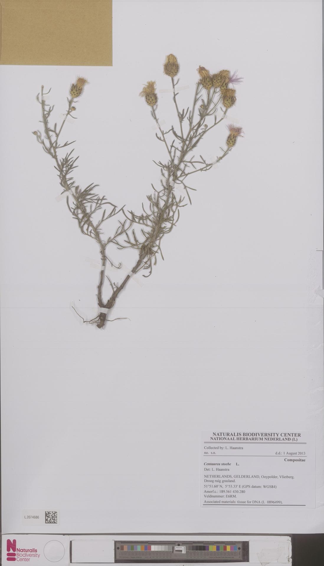 L.2074686 | Centaurea stoebe L.