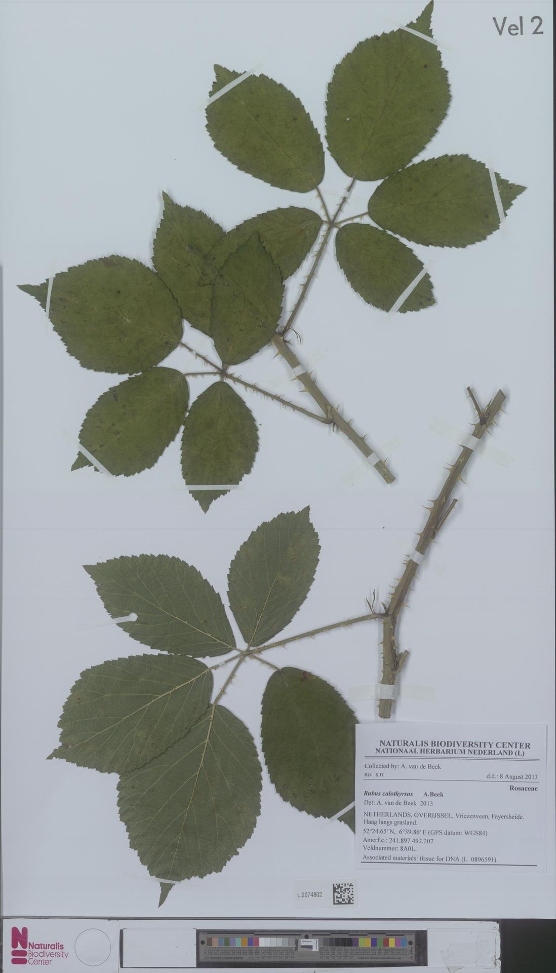 L.2074802 | Rubus calothyrsus A.Beek