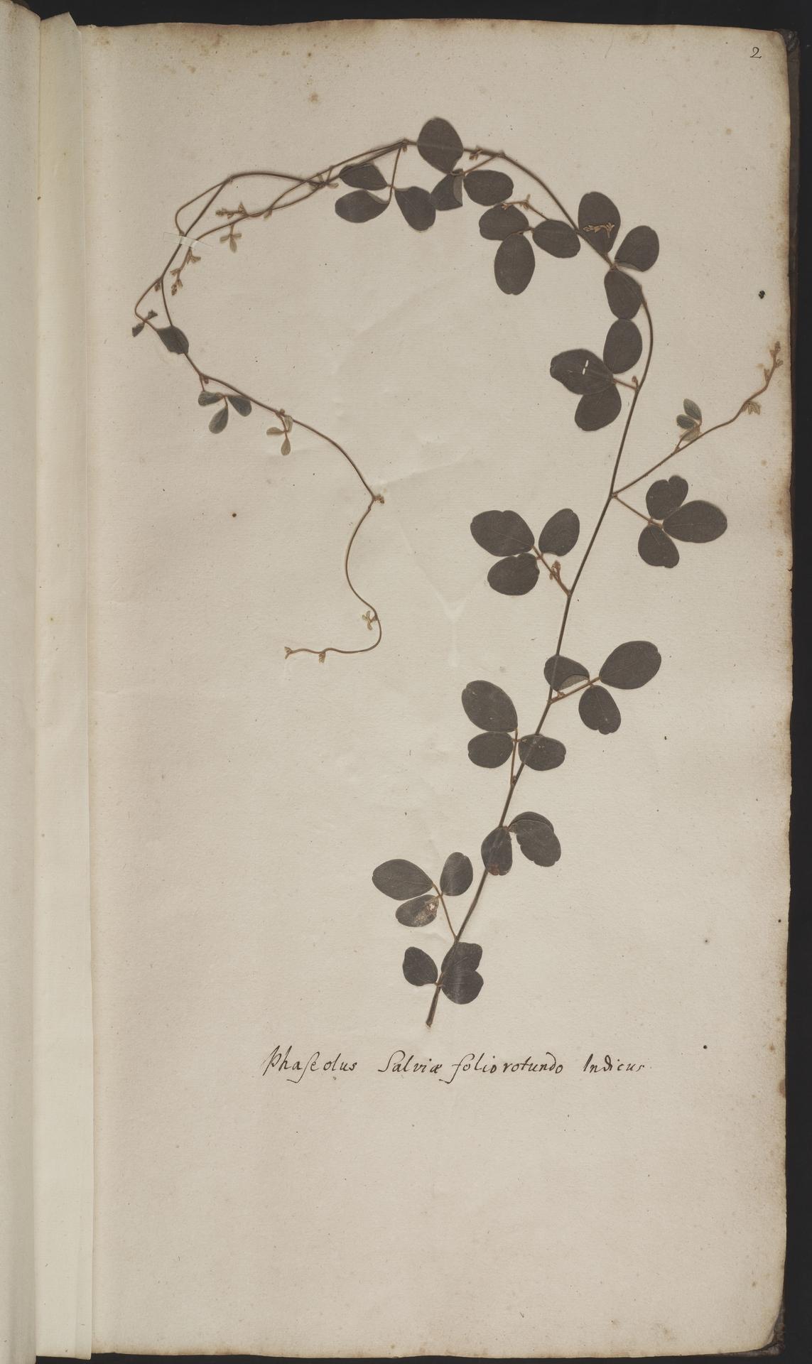 L.2077875 | Cajanus scarabaeoides (L.) Thouars