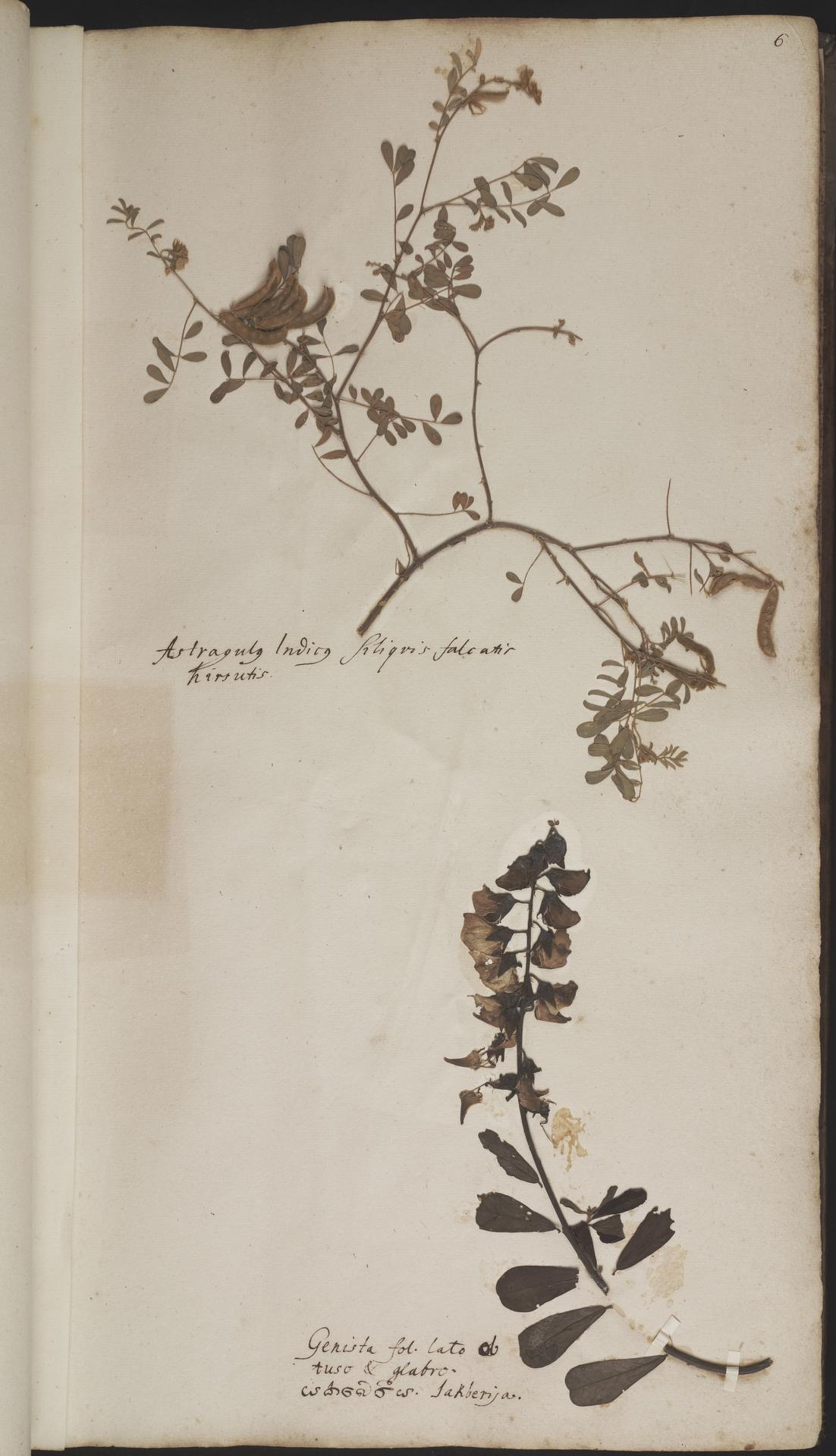 L.2077880 | Tephrosia villosa (L.) Pers.