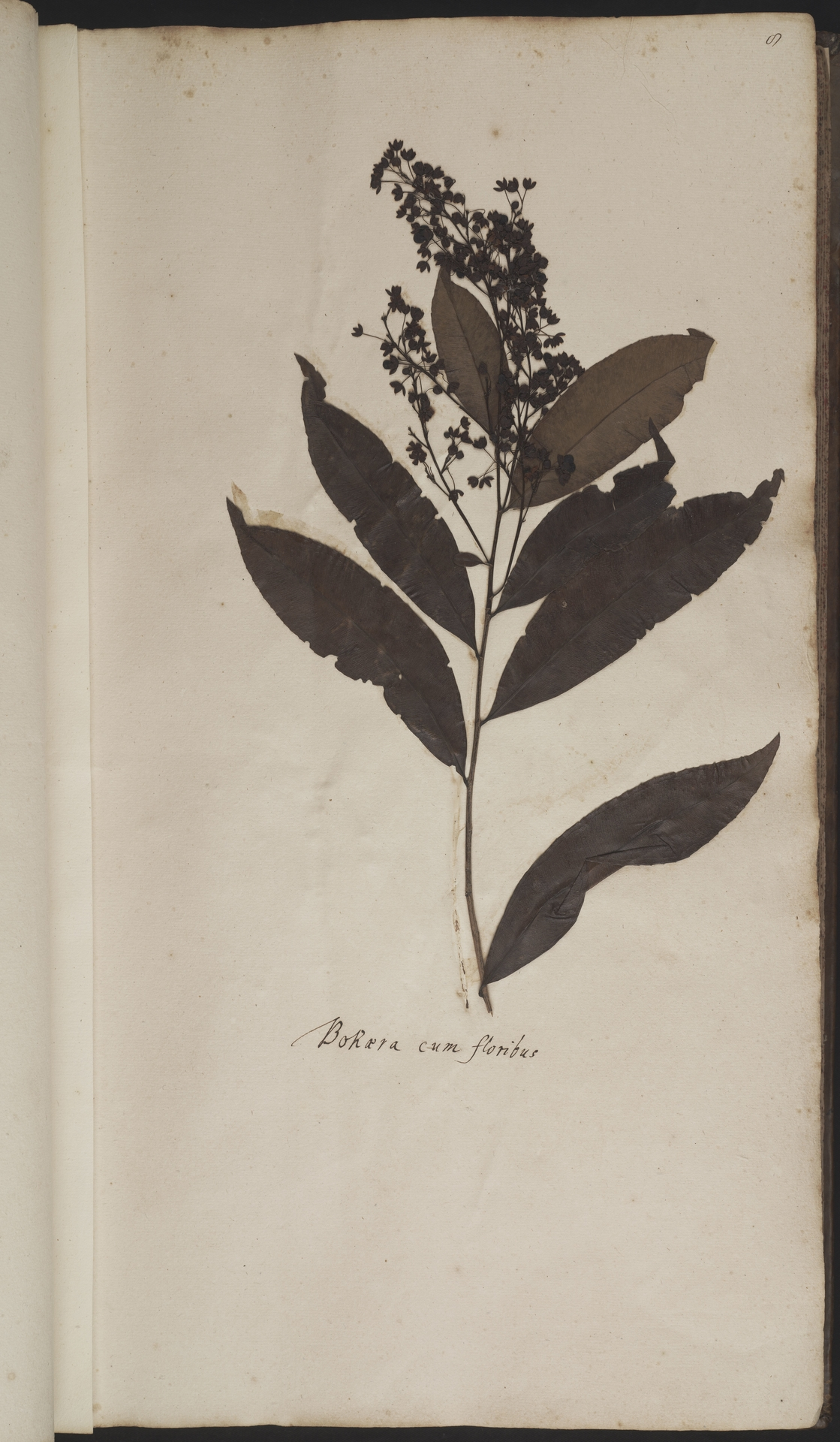 L.2077883   Gomphia serrata (Gaertn.) Kanis