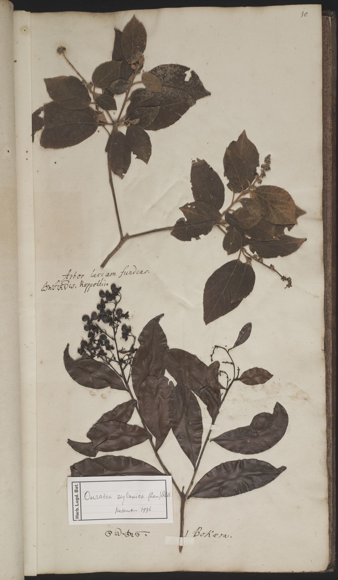L.2077885 | Croton laccifer L.