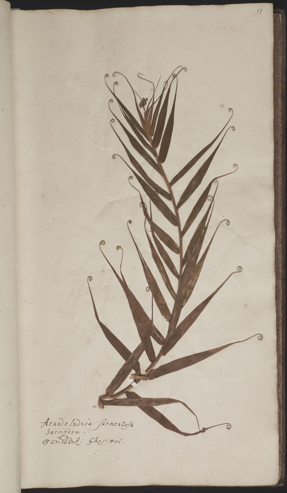 L.2077887 | Flagellaria indica L.