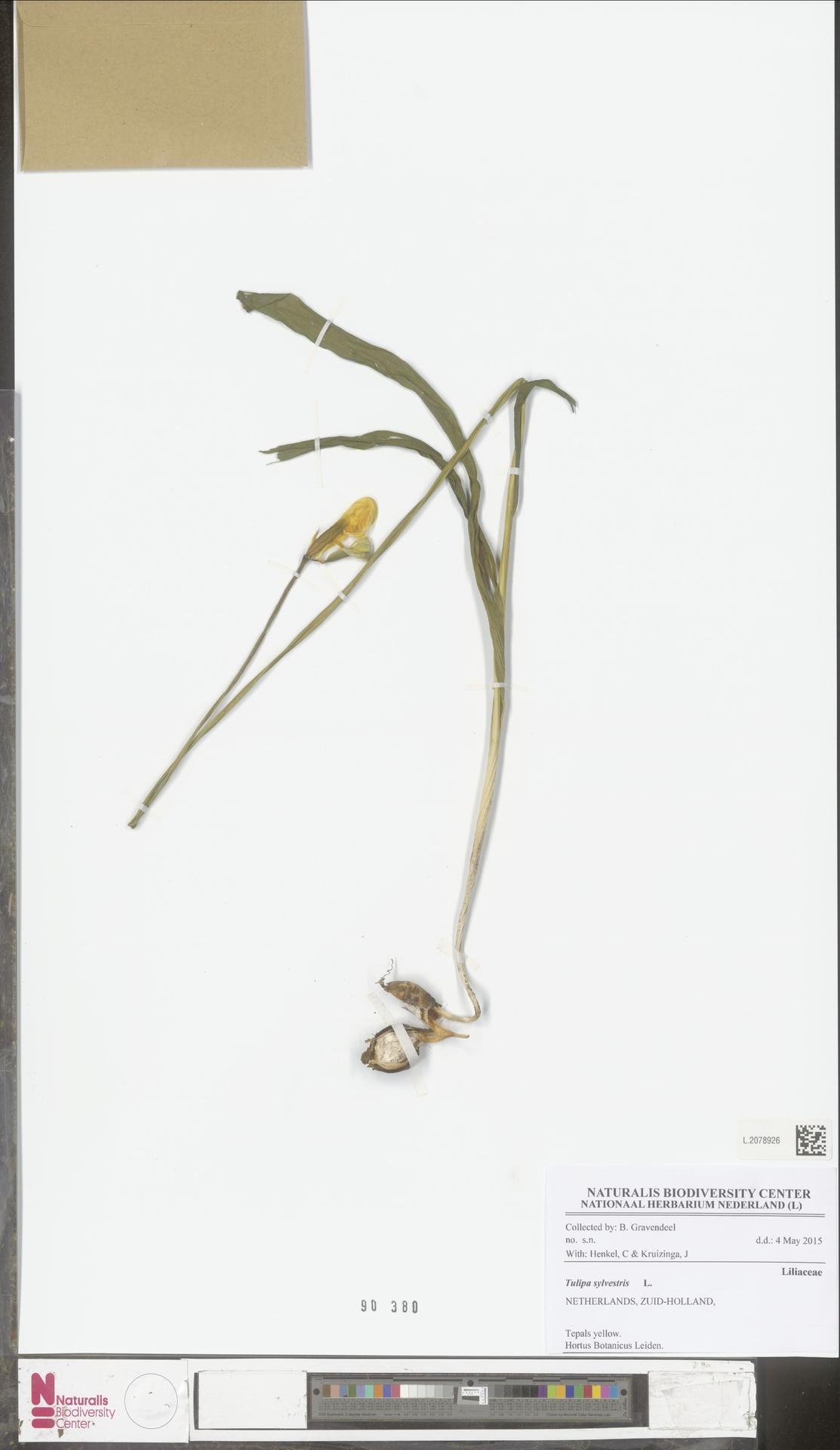 L.2078926   Tulipa sylvestris L.