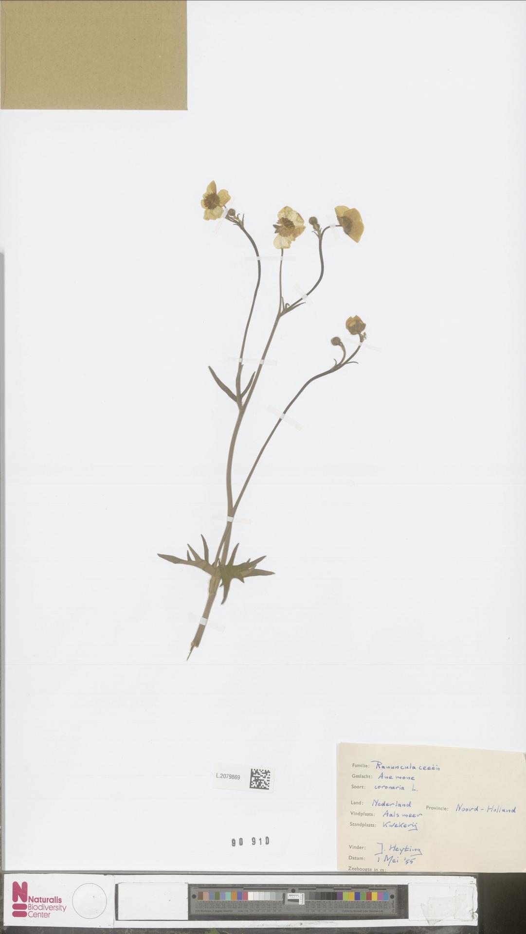 L.2079869 | Anemone coronaria L.