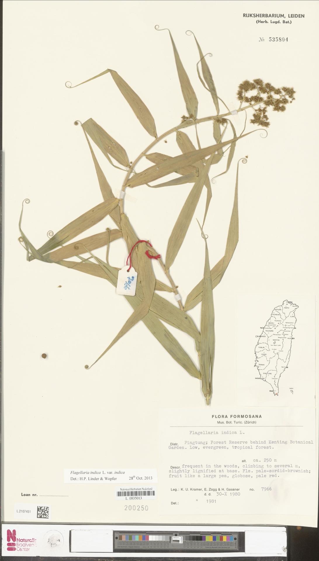 L.2107451 | Flagellaria indica L.