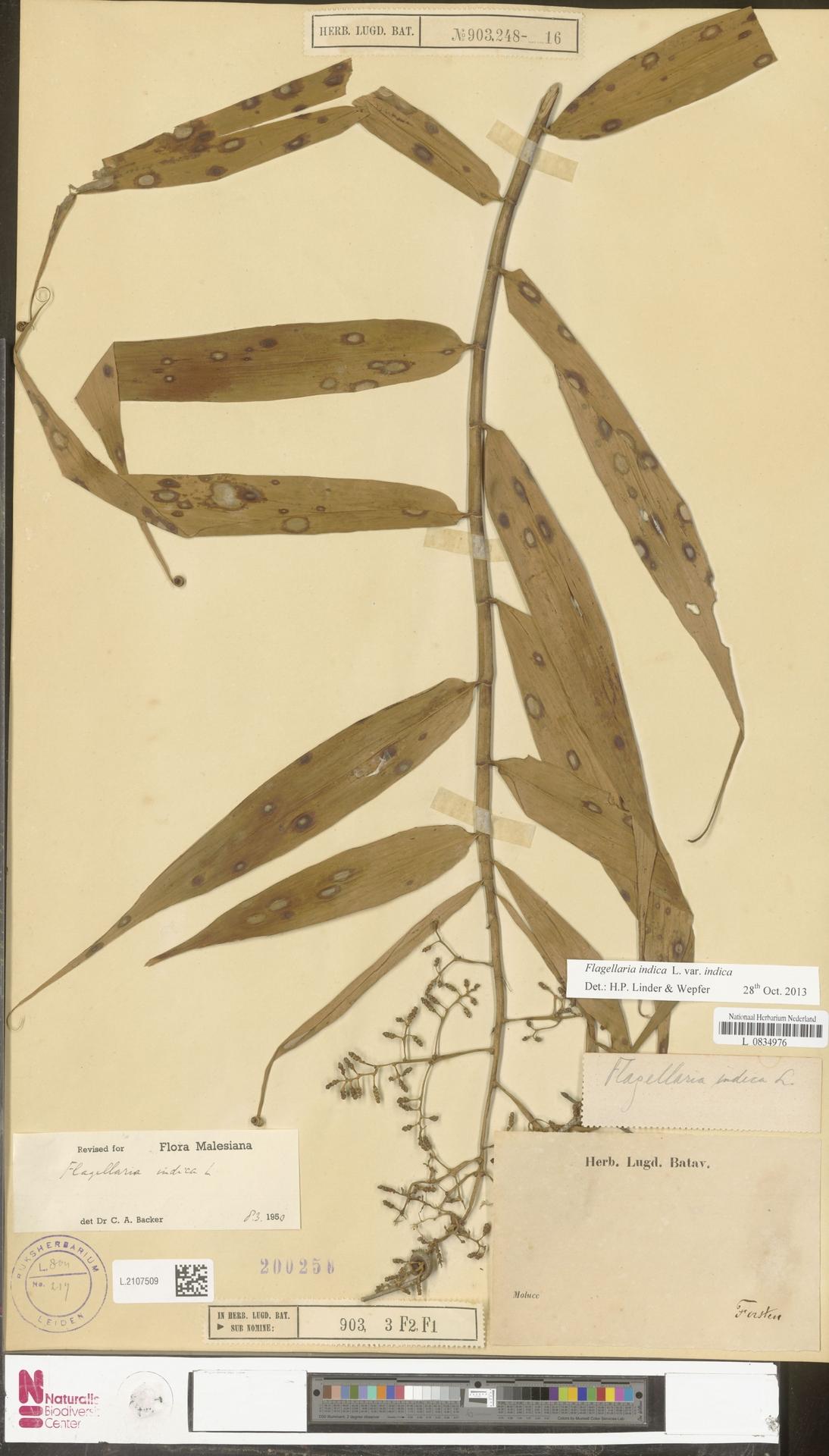 L.2107509 | Flagellaria indica L.
