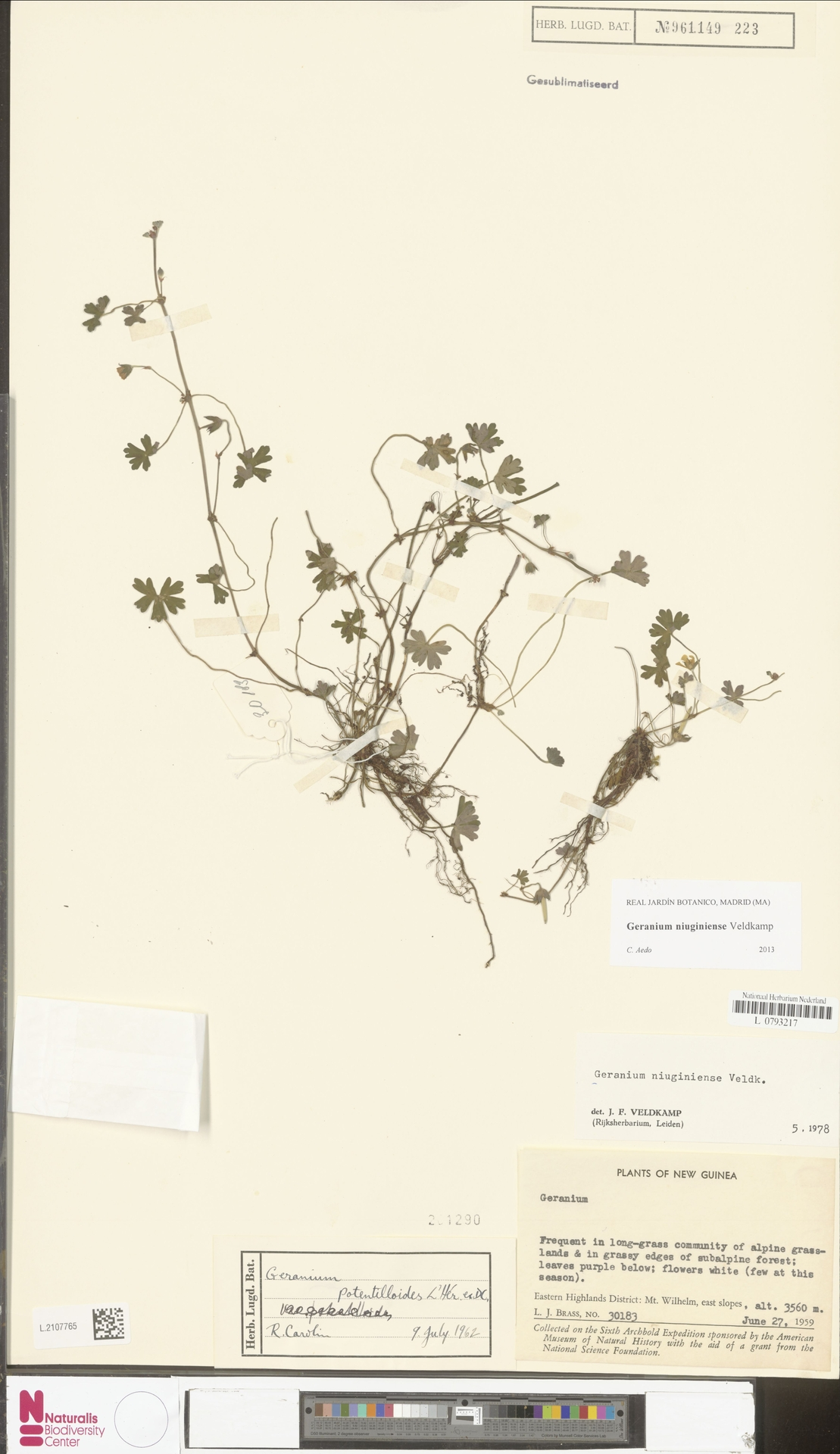 L.2107765 | Geranium niuginiense Veldkamp