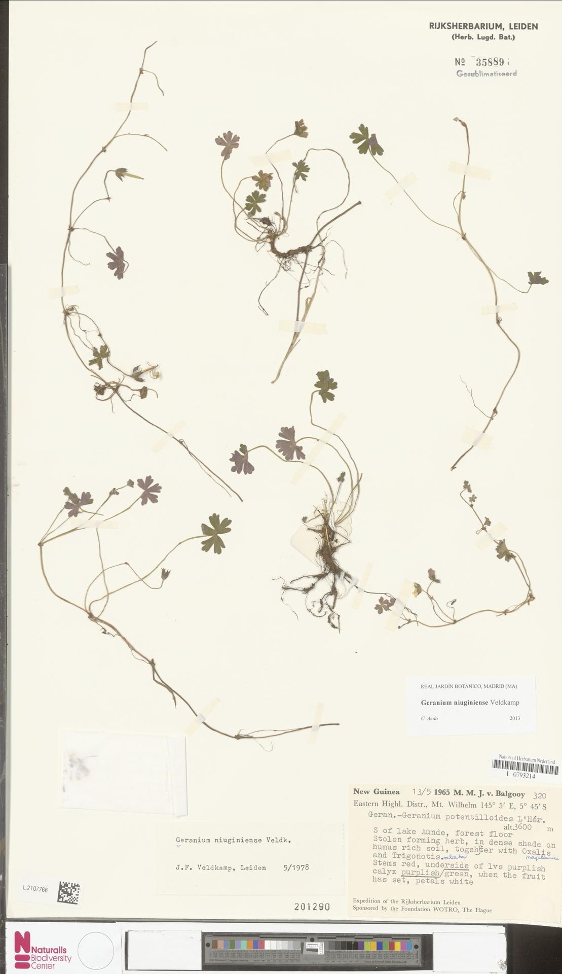 L.2107766 | Geranium niuginiense Veldkamp