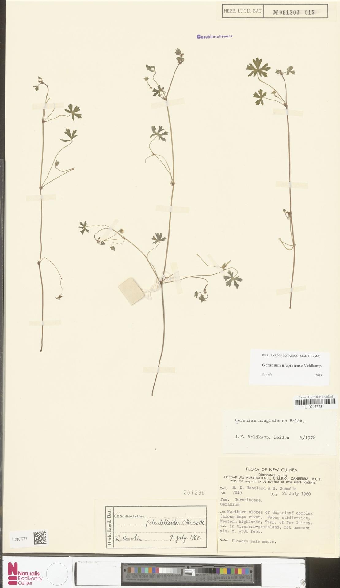 L.2107767 | Geranium niuginiense Veldkamp