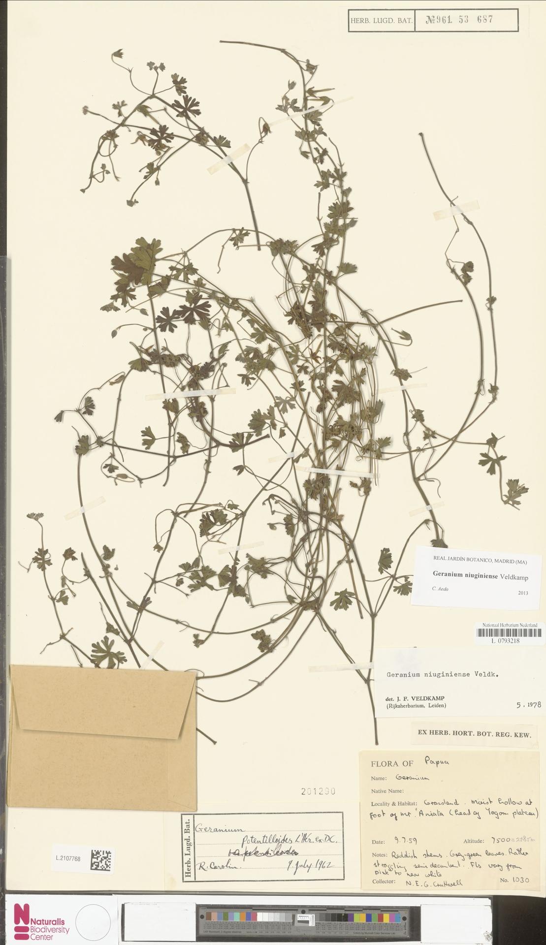 L.2107768 | Geranium niuginiense Veldkamp
