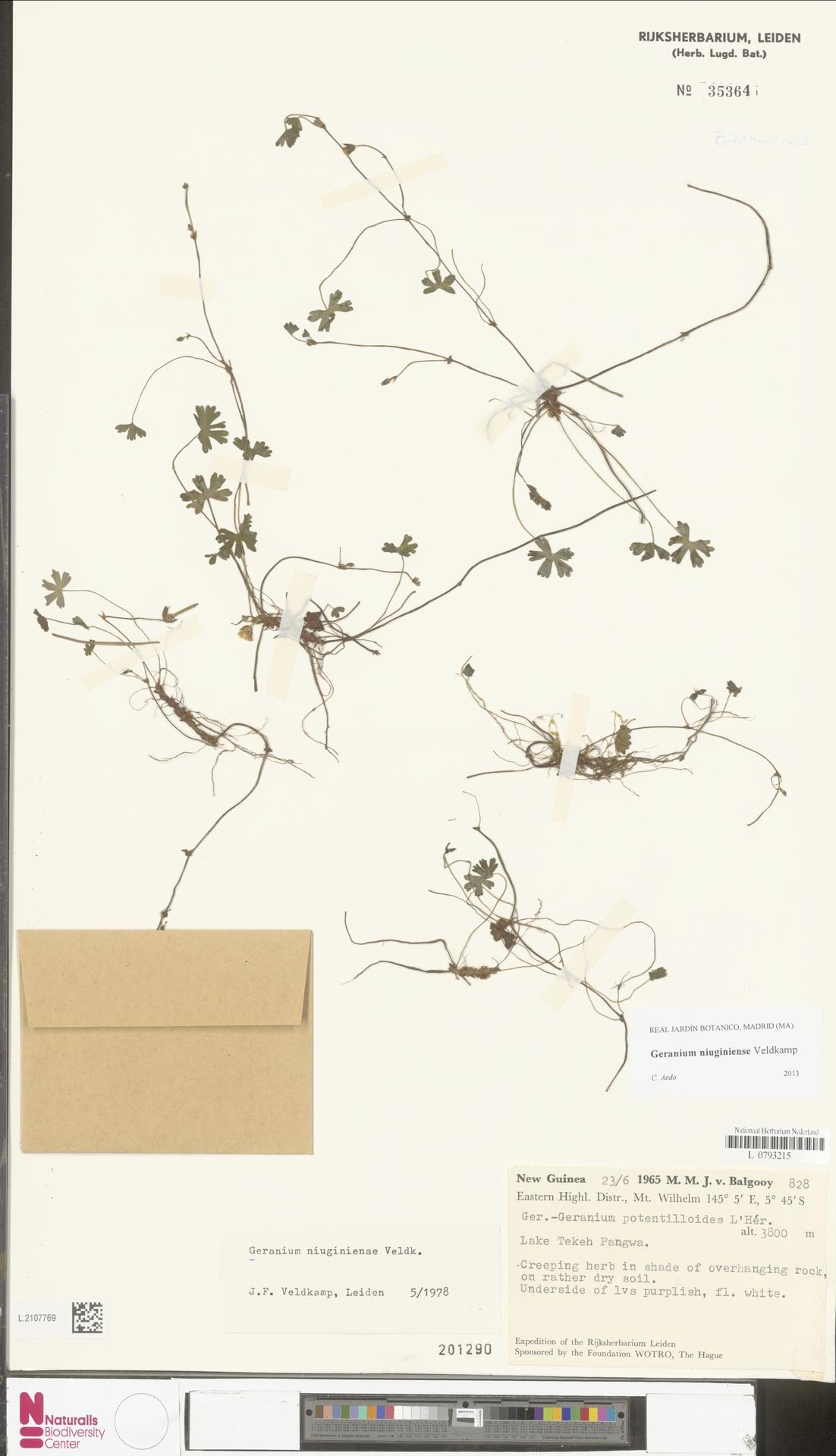 L.2107769 | Geranium niuginiense Veldkamp