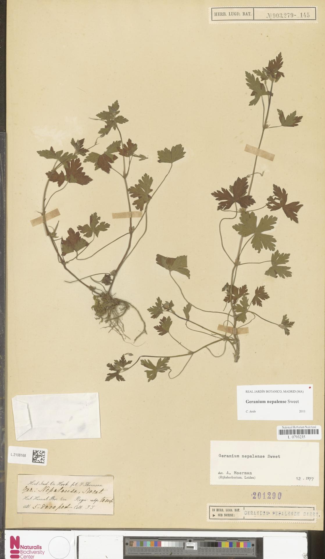 L.2108168 | Geranium nepalense Sweet