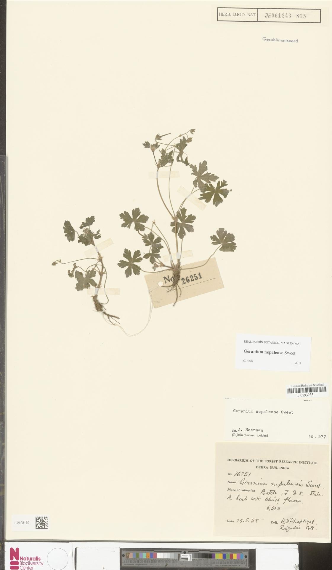 L.2108170 | Geranium nepalense Sweet