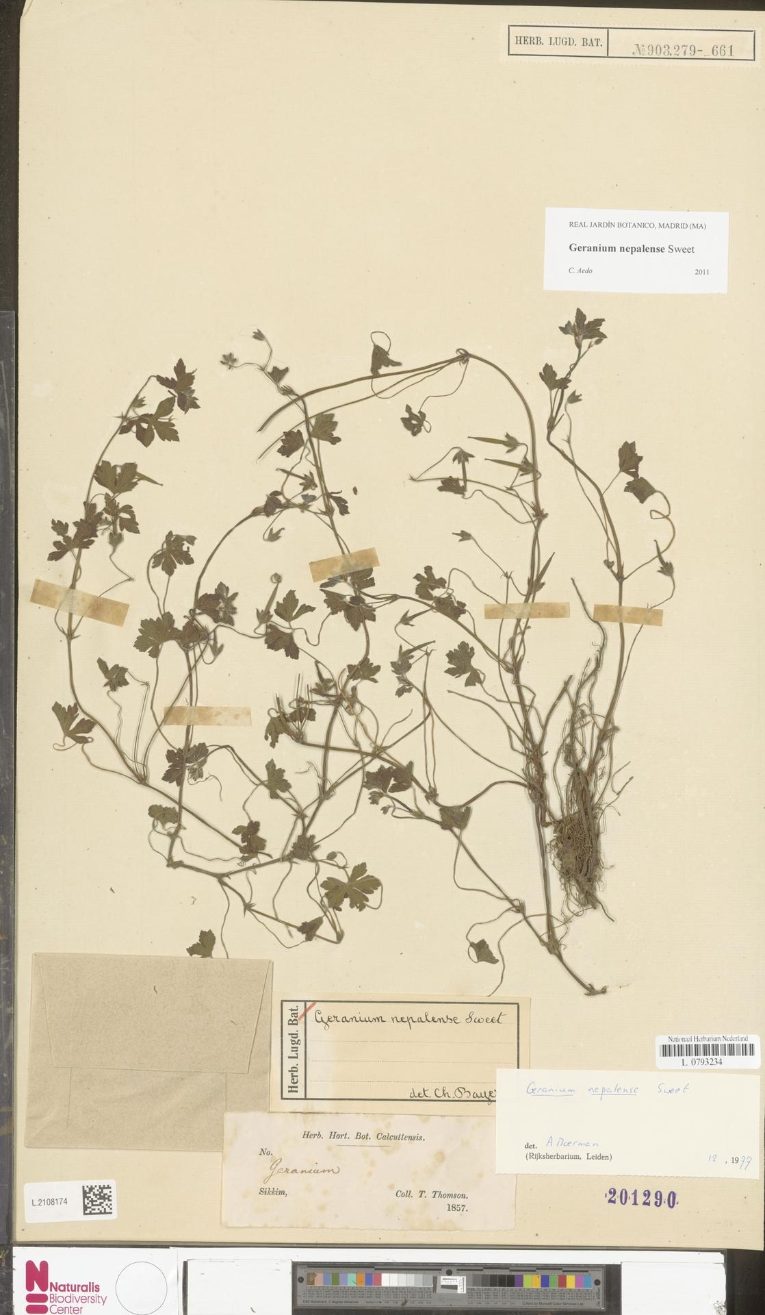 L.2108174 | Geranium nepalense Sweet