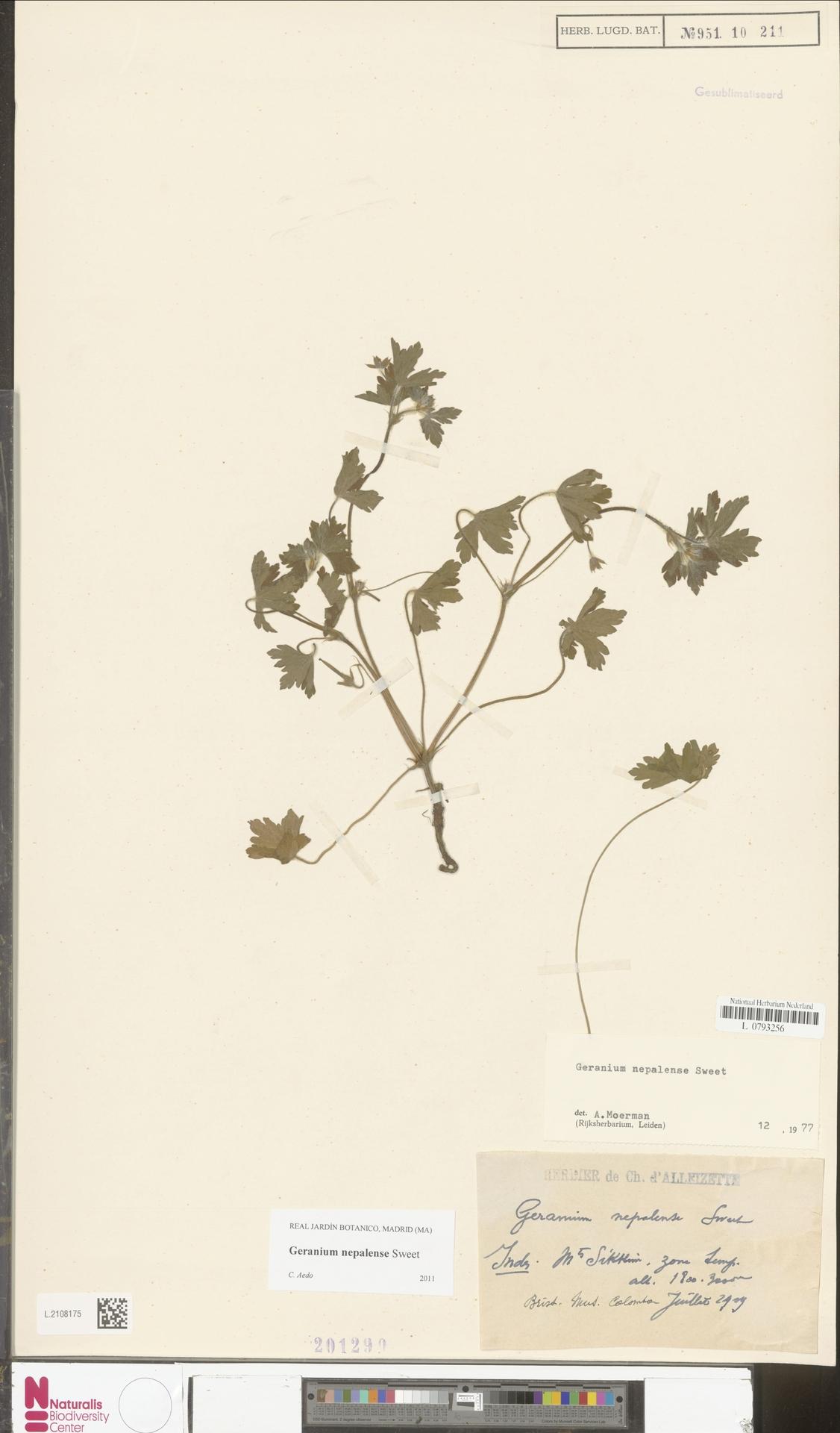 L.2108175 | Geranium nepalense Sweet