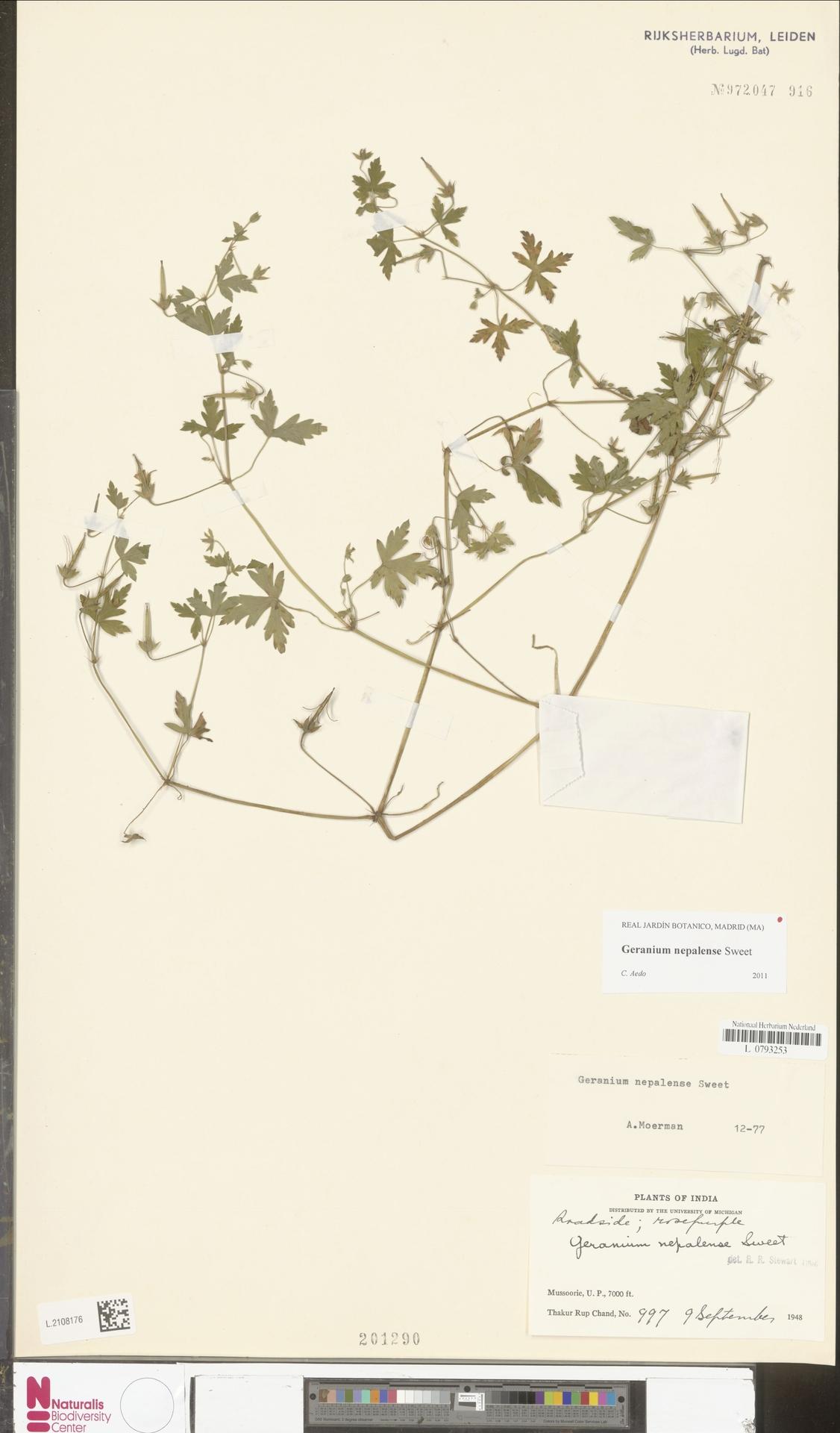 L.2108176 | Geranium nepalense Sweet