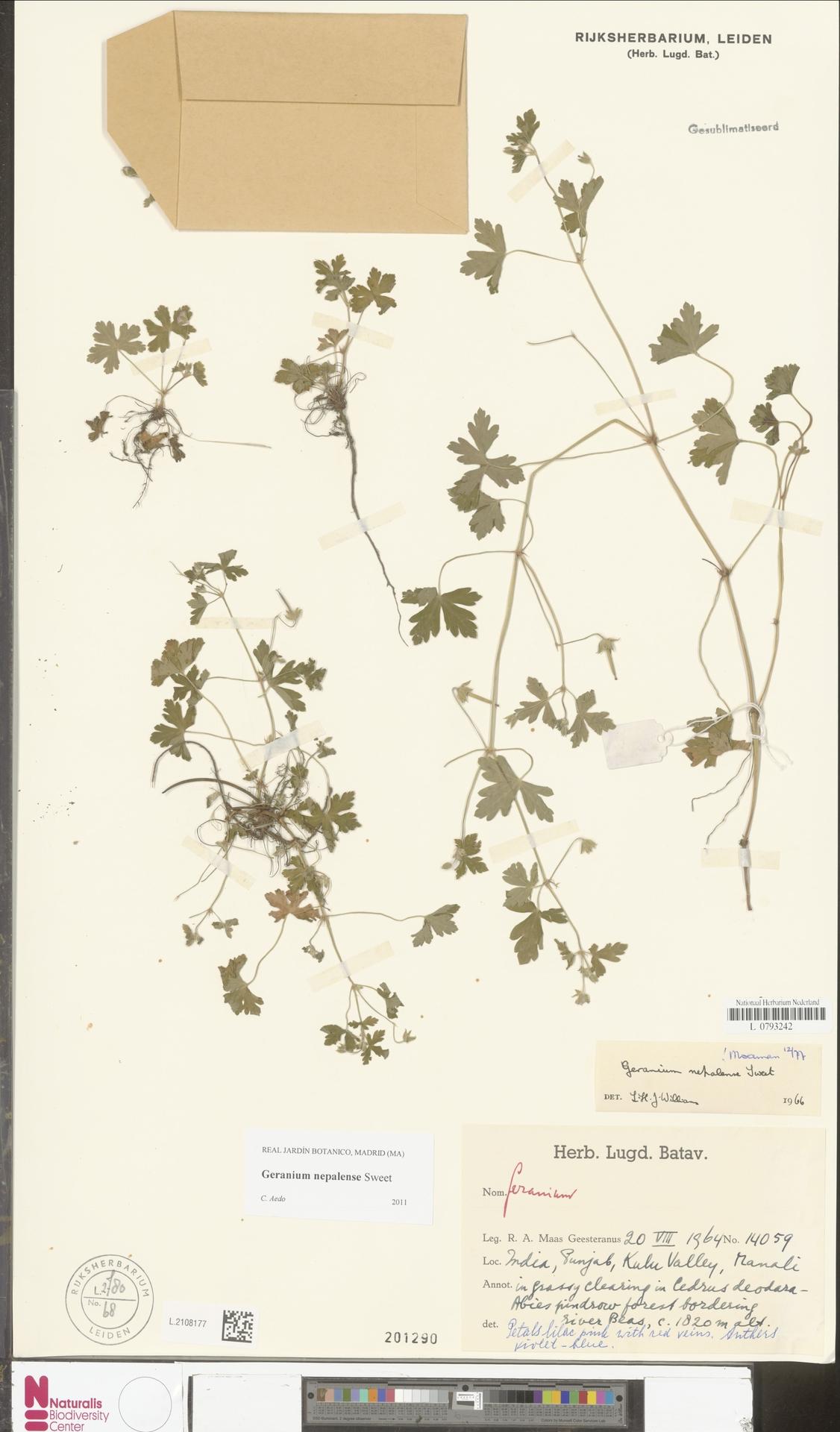 L.2108177 | Geranium nepalense Sweet