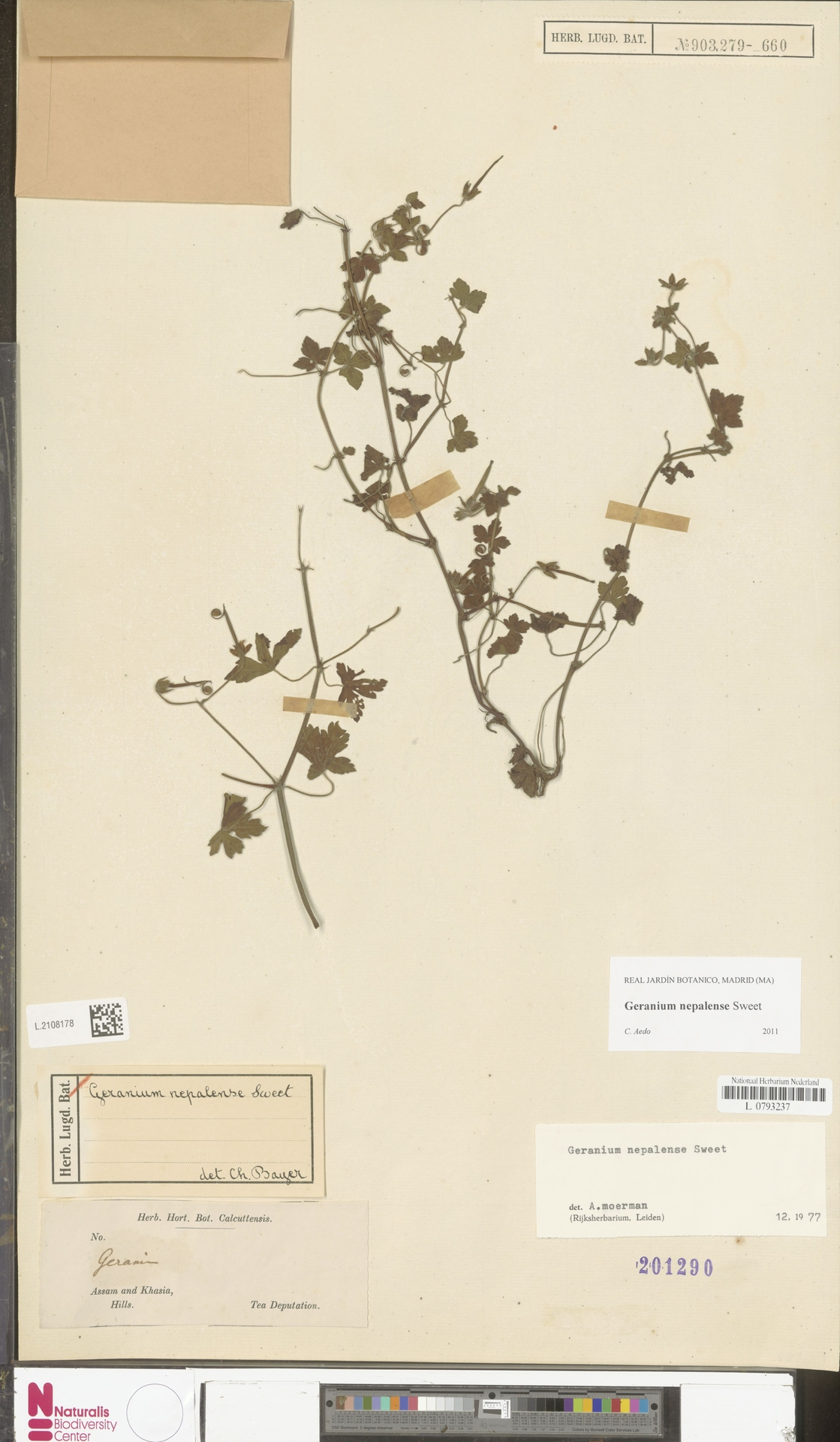 L.2108178   Geranium nepalense Sweet