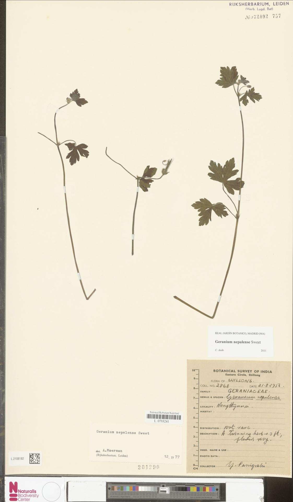 L.2108182 | Geranium nepalense Sweet
