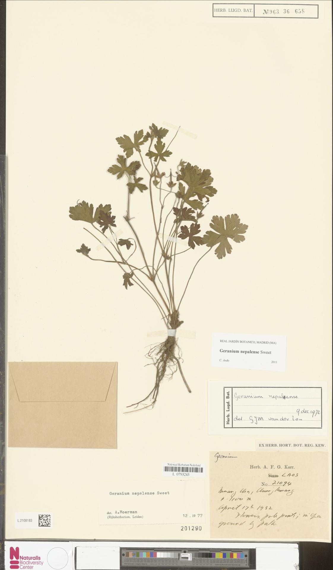 L.2108183 | Geranium nepalense Sweet