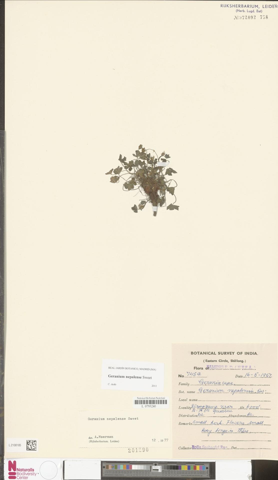 L.2108185 | Geranium nepalense Sweet